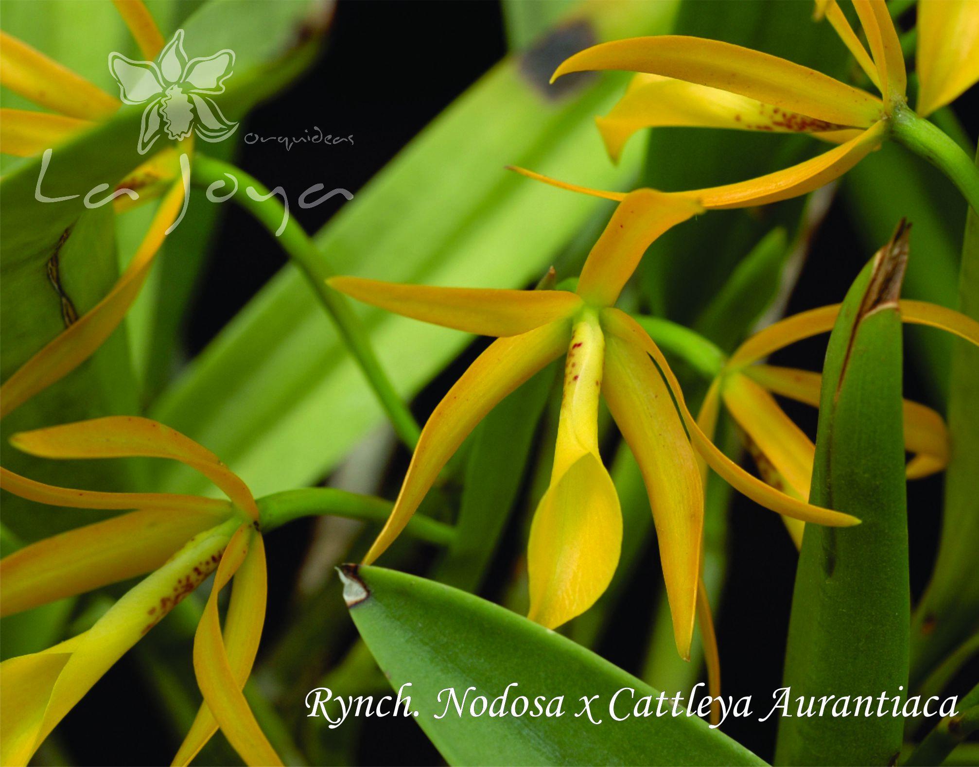 Ryncholaelia Nodosa x Cattleya Aurantiaca