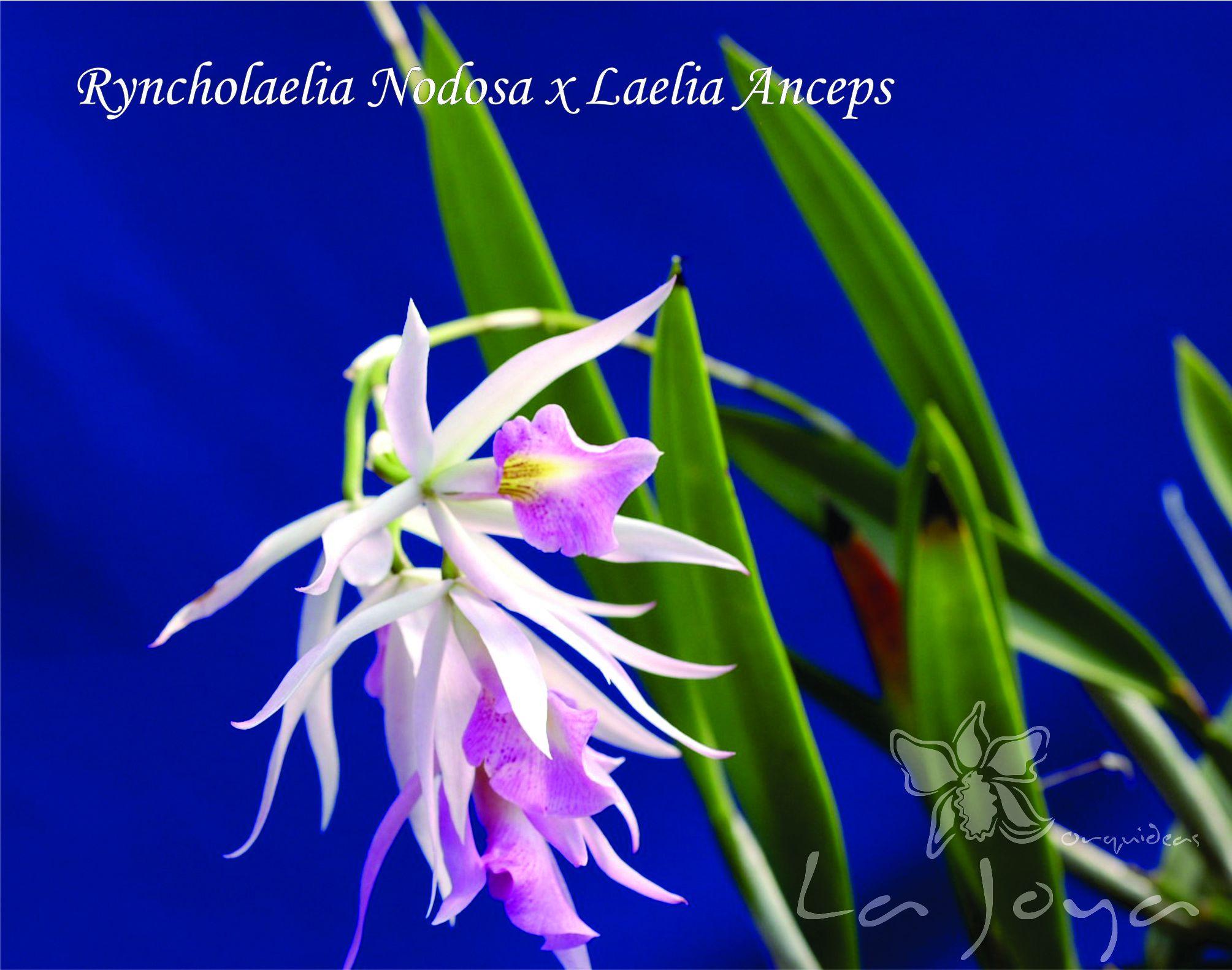 Ryncholaelia Nodosa x Laelia Anceps