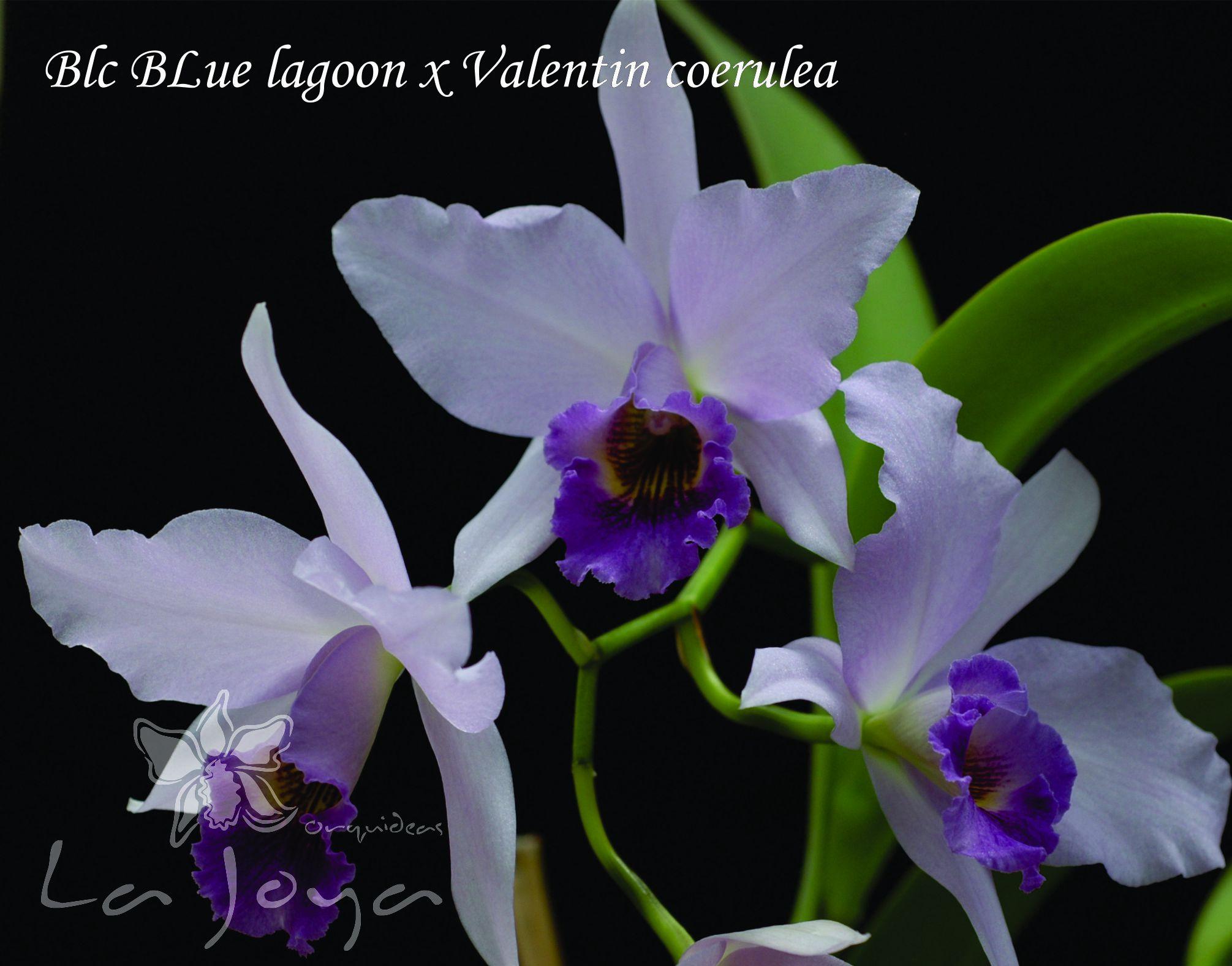 Blc. Blue Lagoon x Valentyn Coerulea