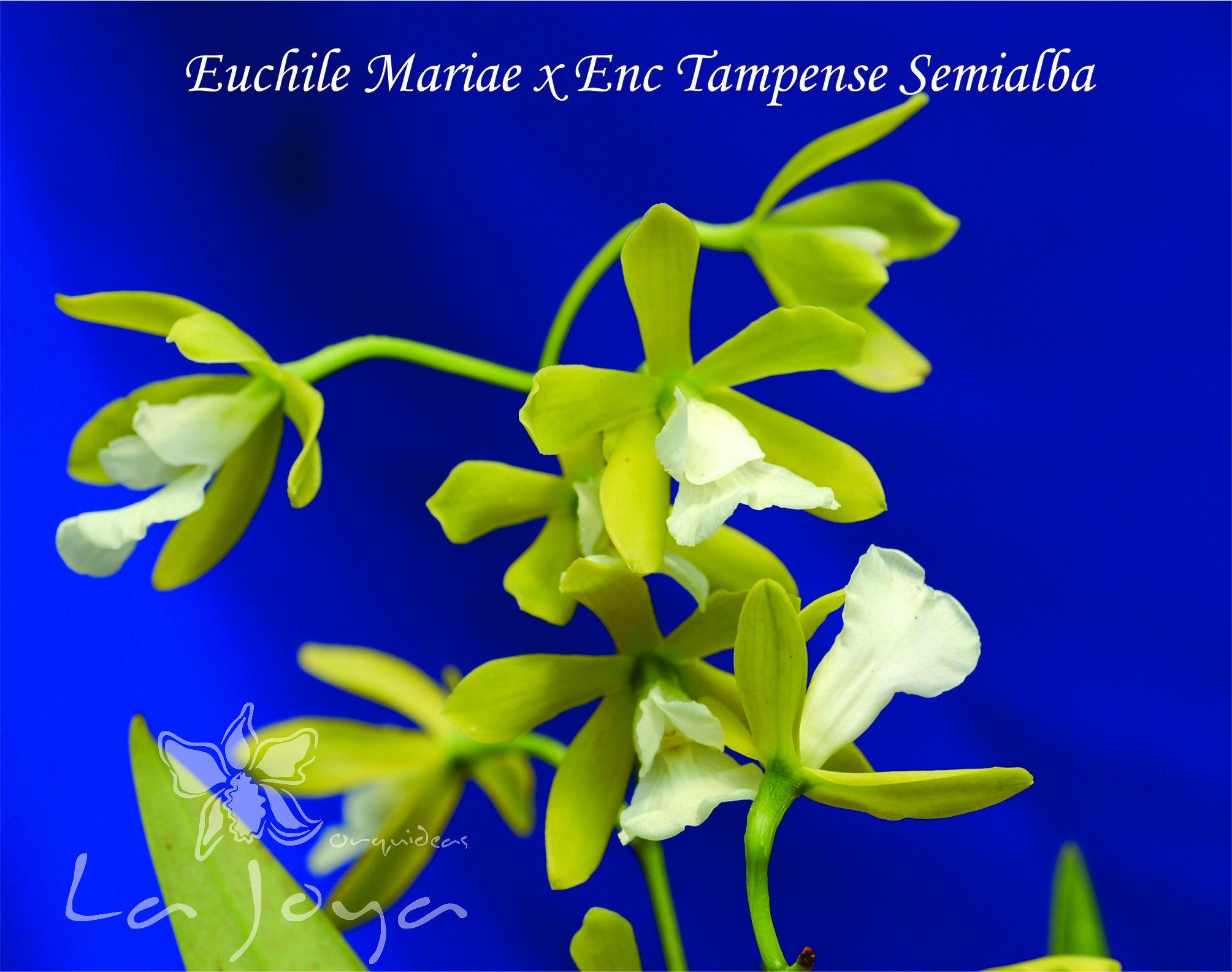 Encyclia Mariae x Enc. Tampense Semialba