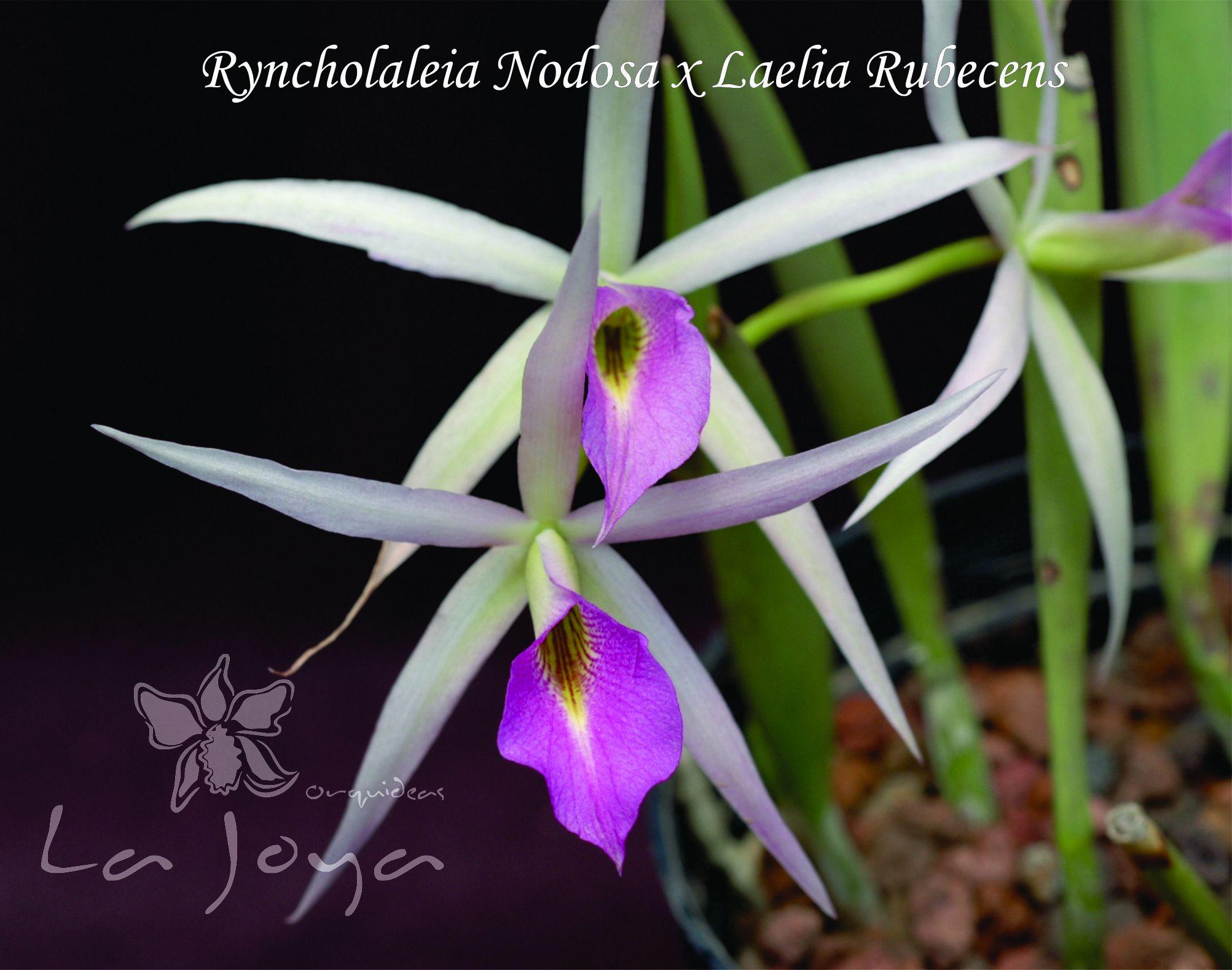 Ryncholaelia Nodosa x Laelia Rubescens