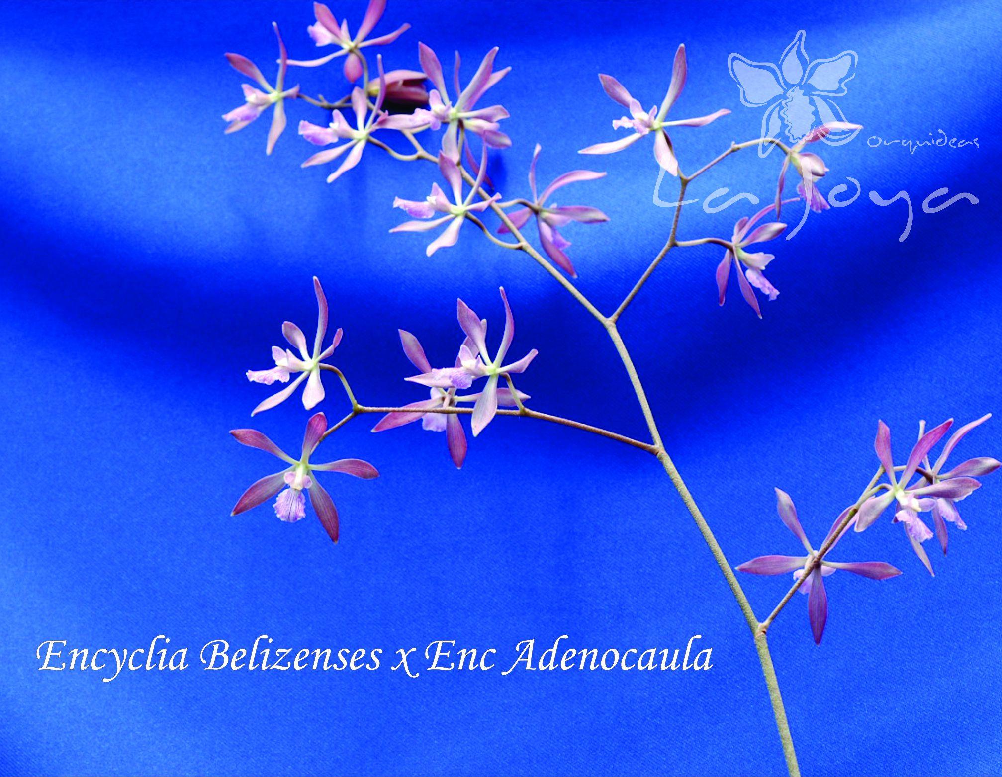 Enc. Belizenzes x Enc. Adenocaula