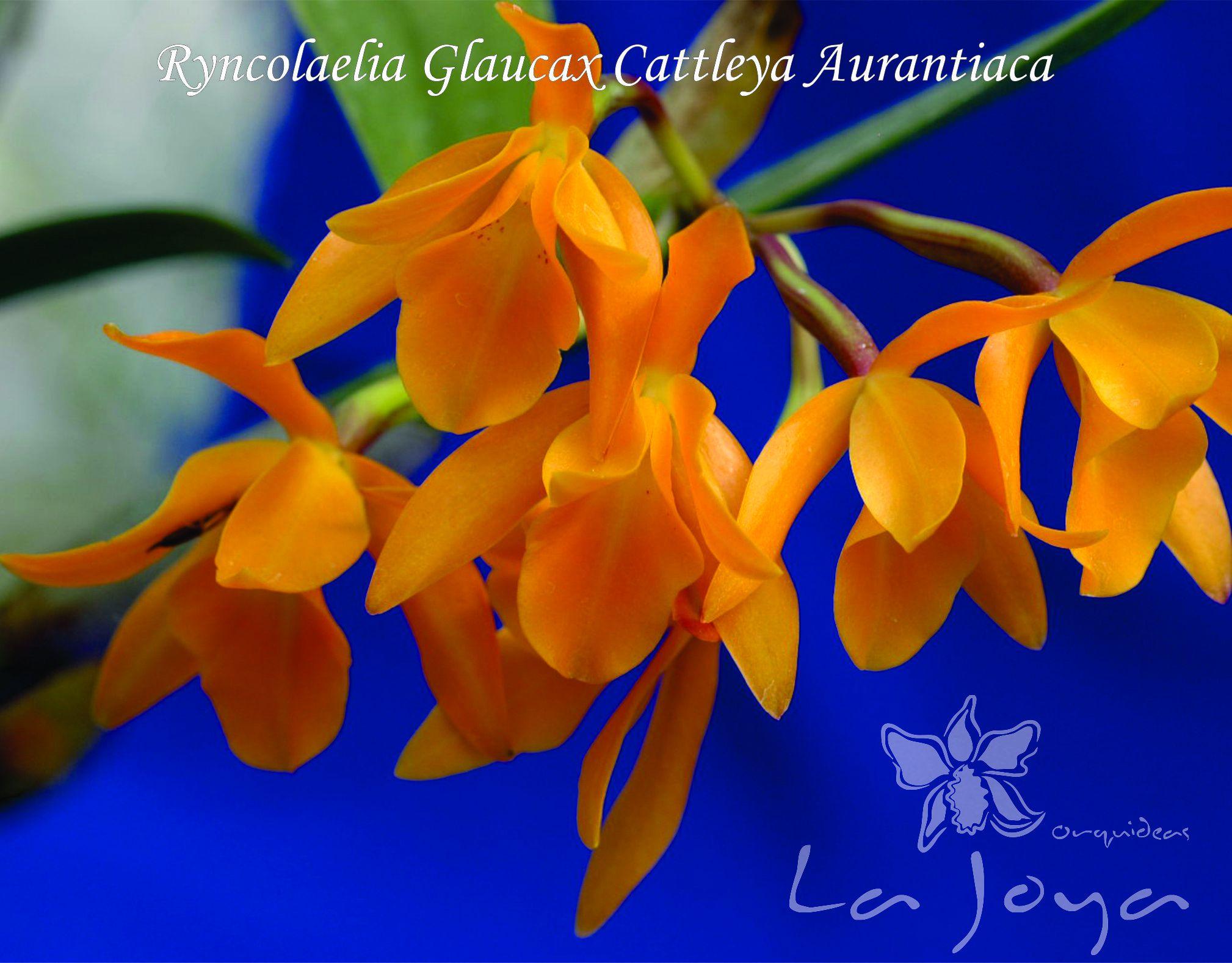 Ryncholaelia Glauca x Cattleya Aurantiaca