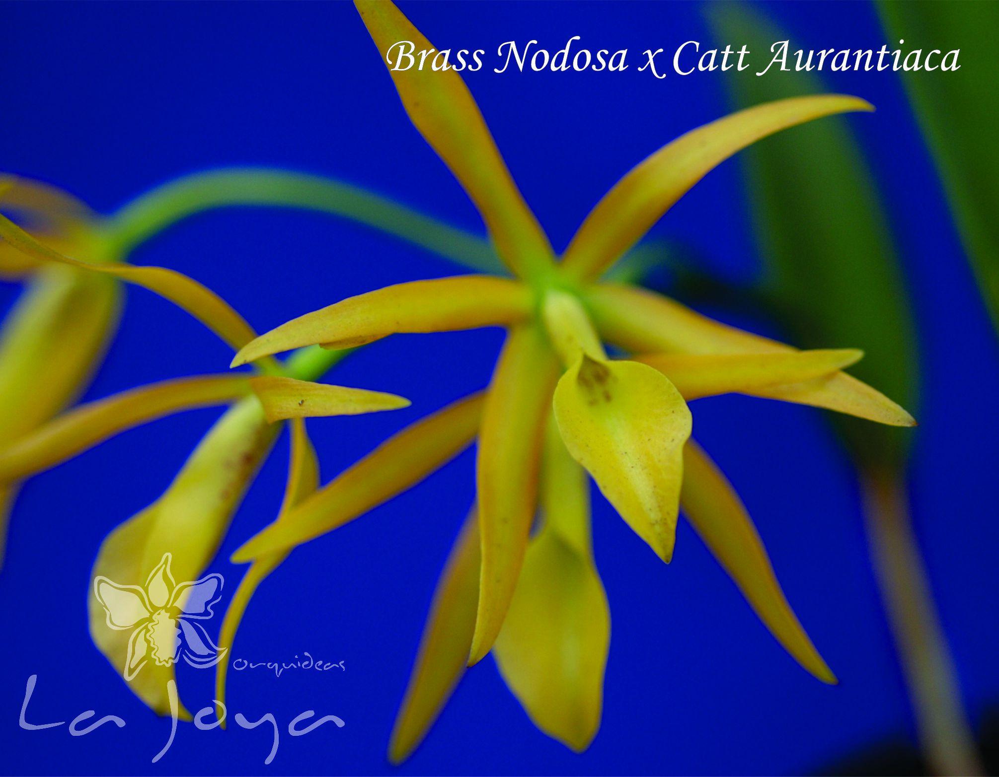 Brass Nodosa x Cattleya Aurantiaca