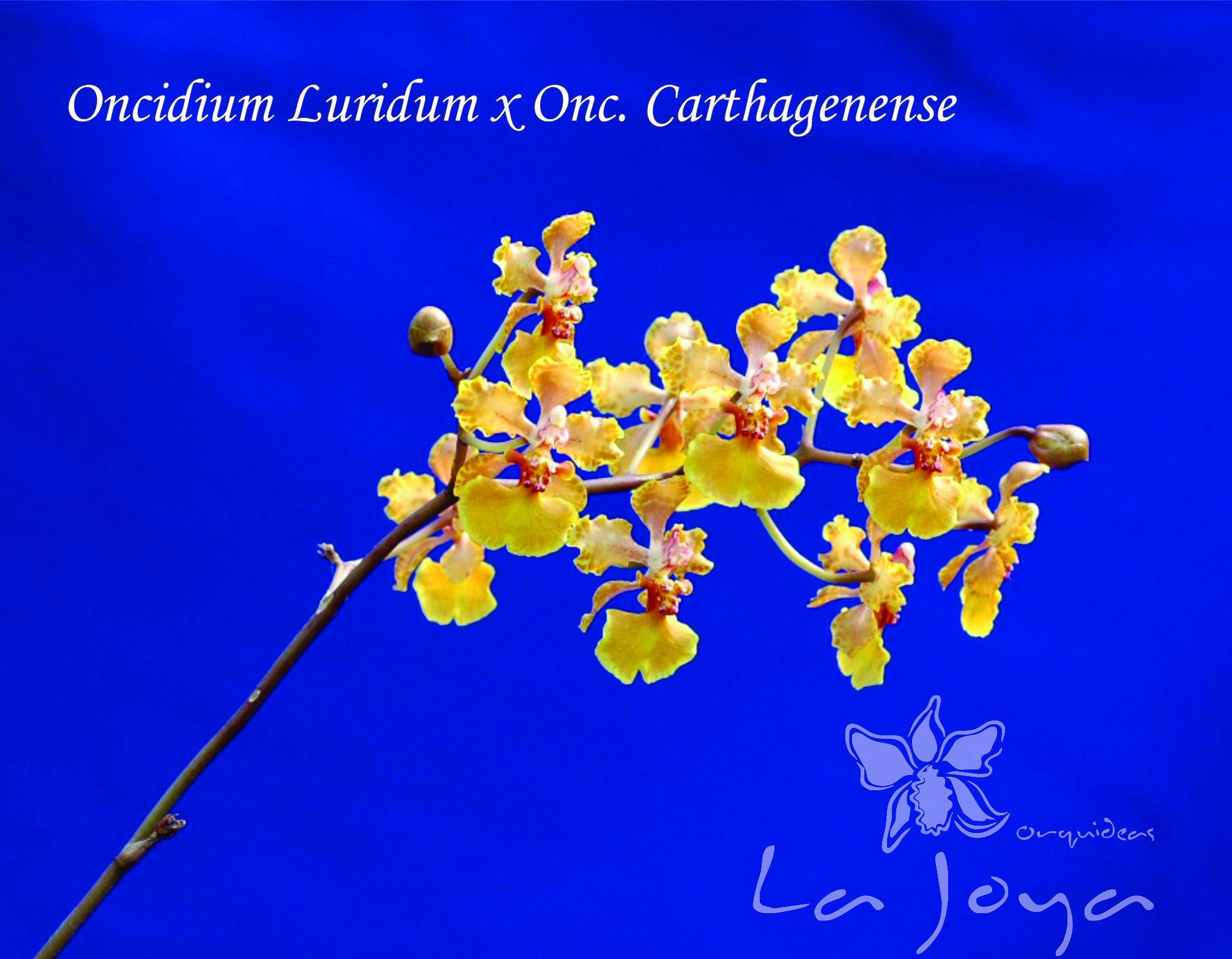 Oncidium Luridum x Onc. Carthagenense