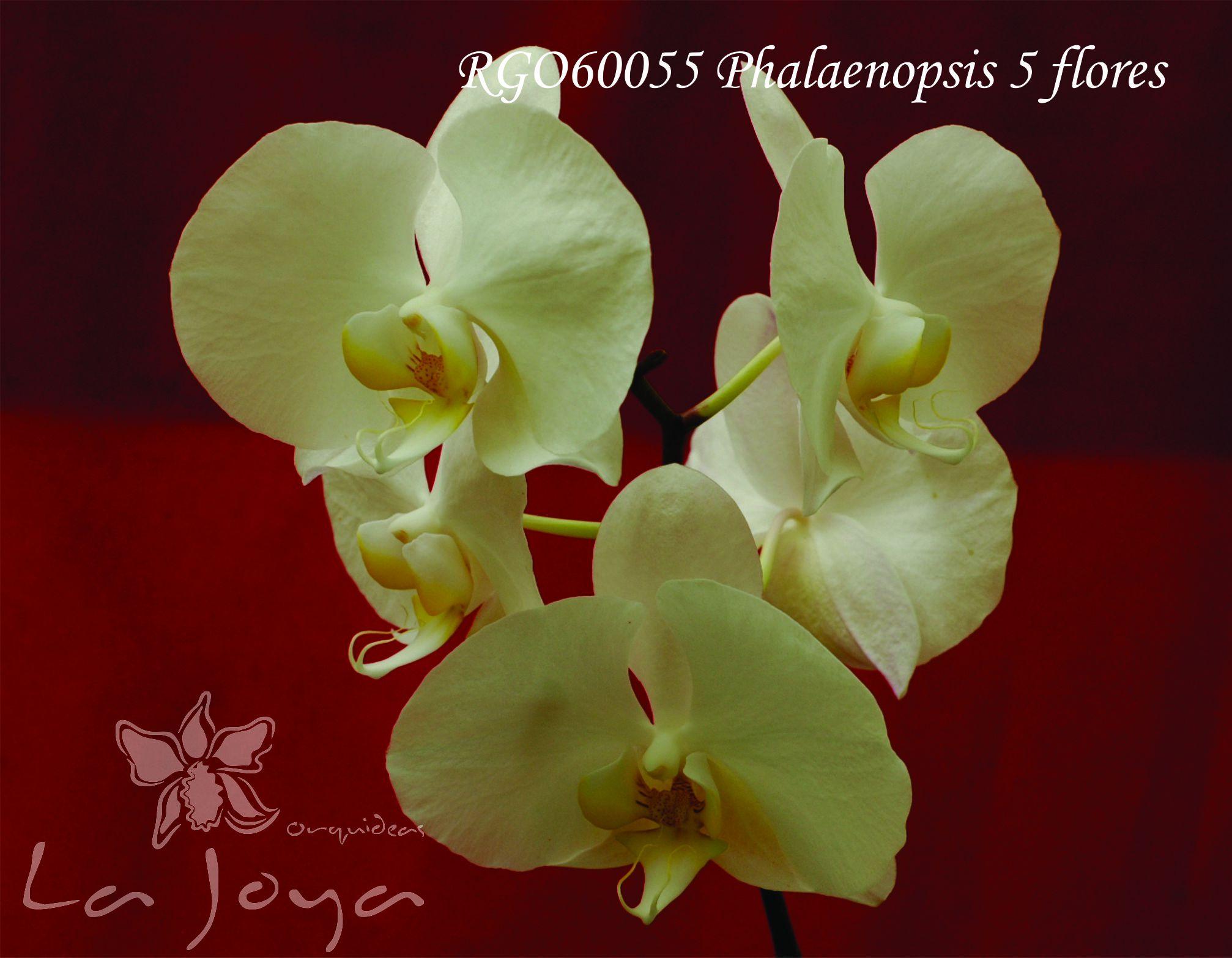 Phal RG060055 con 5 flores