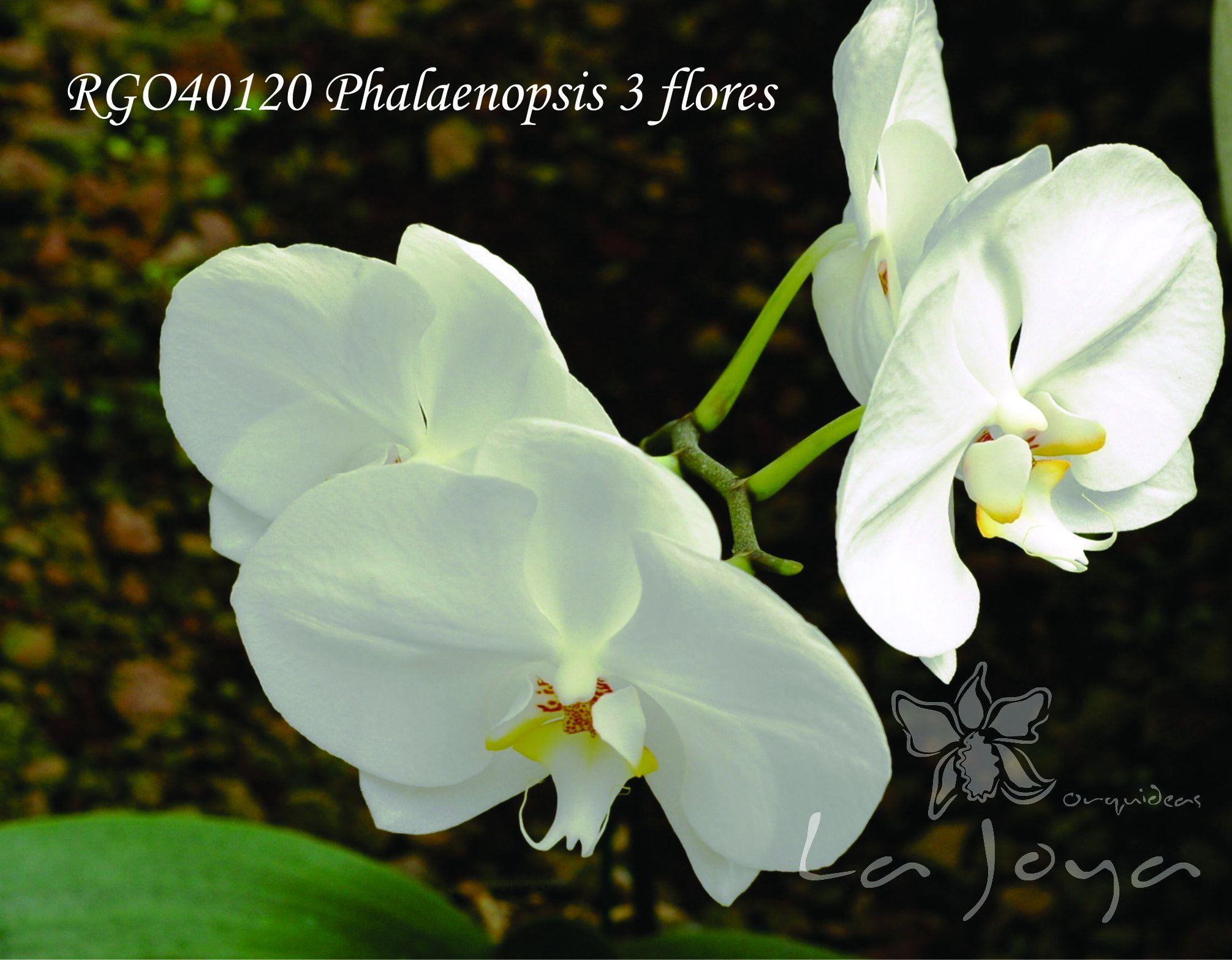 Phal RG040120 con 3 flores