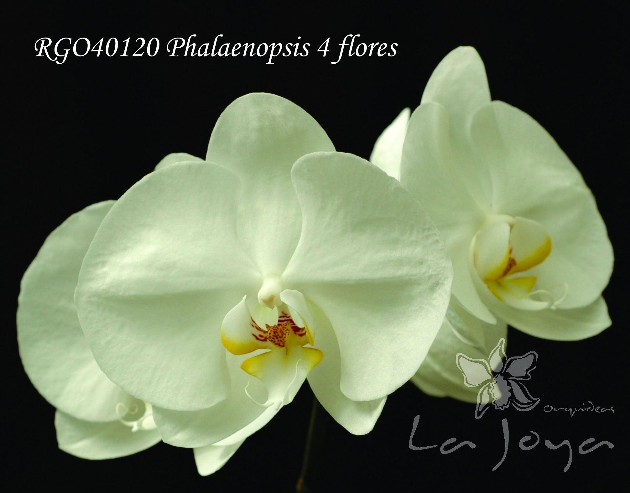 Phal RG040120 con 4 flores