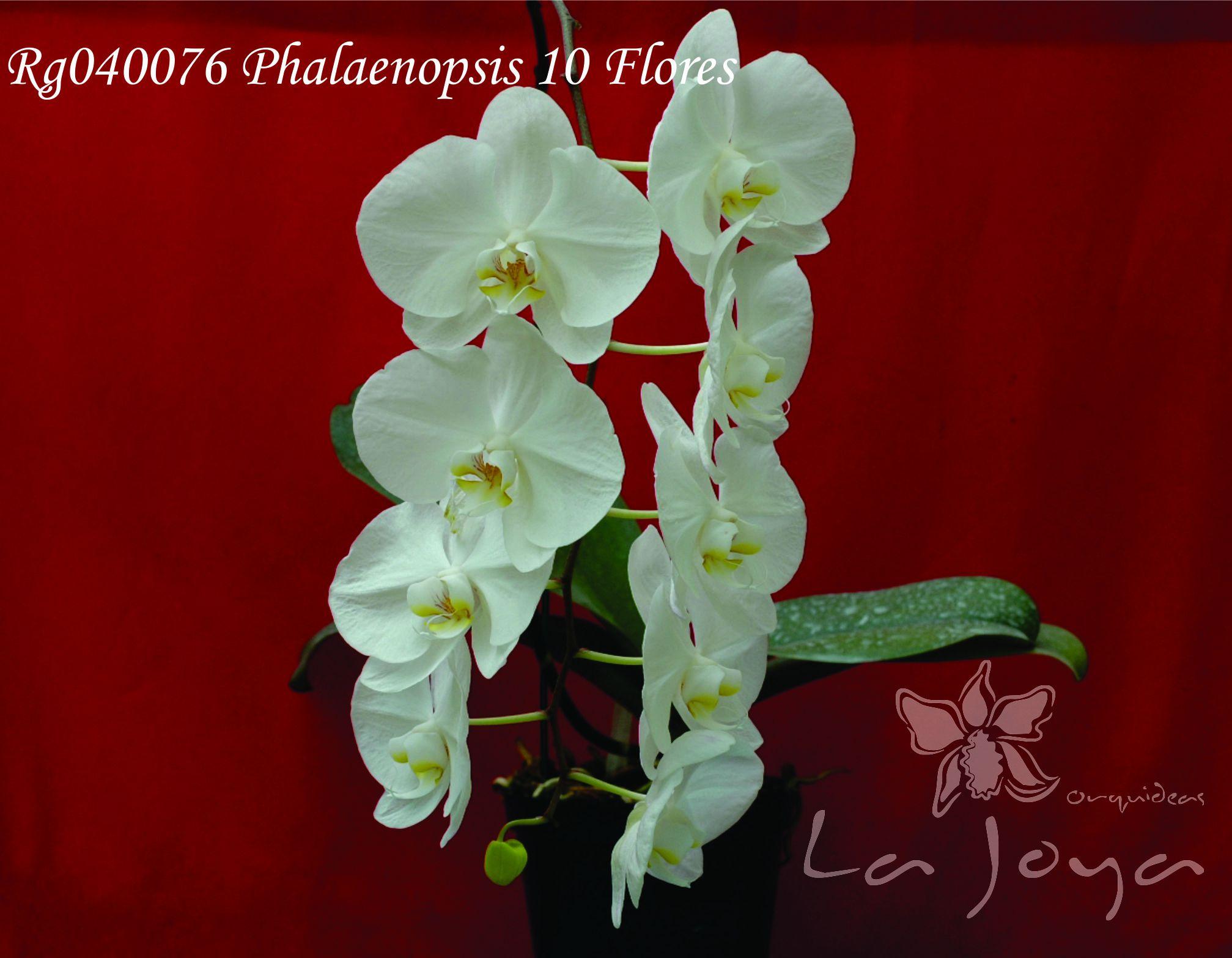 Phal RG040076 con 10 flores