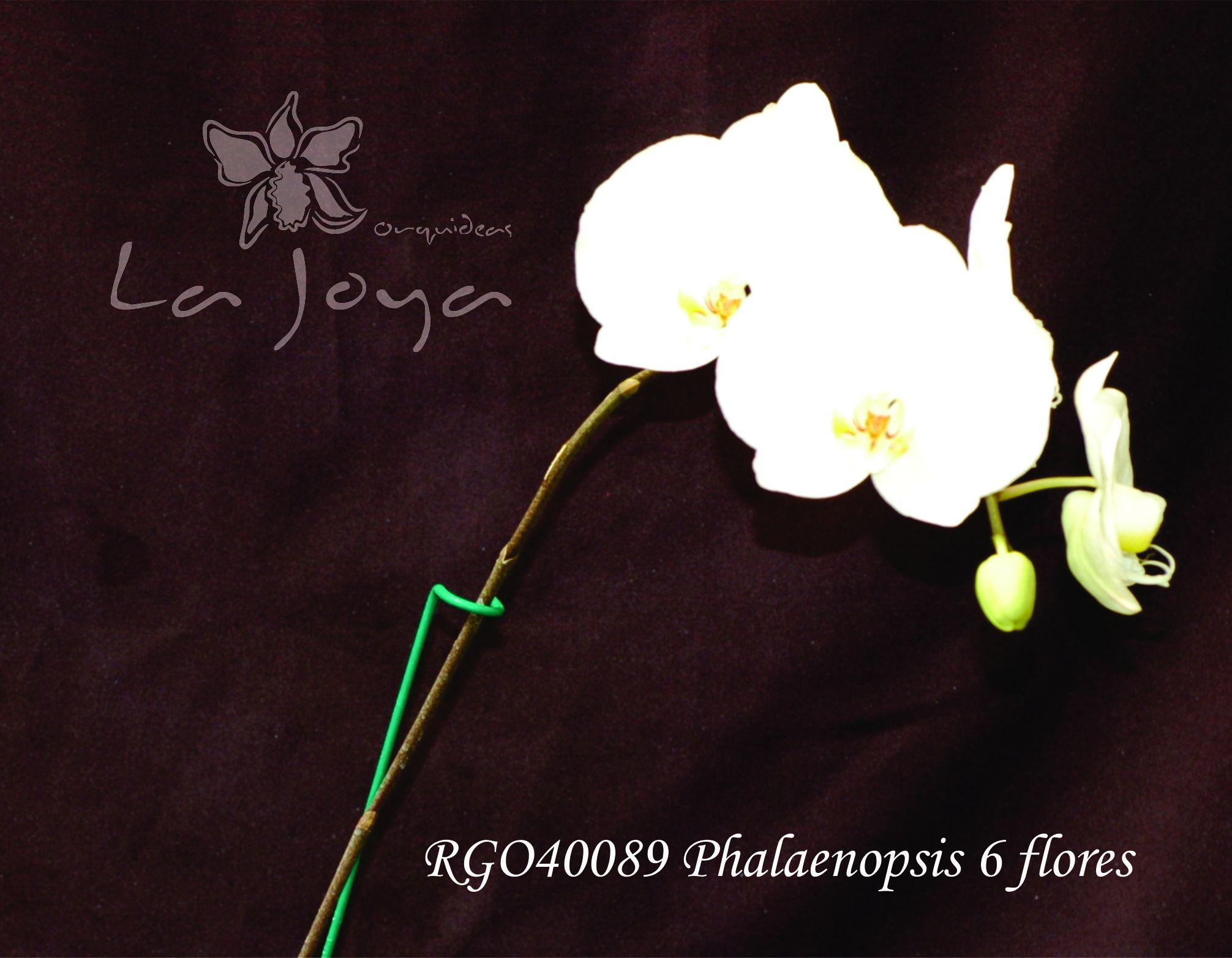 Phal RG040089 con 6 flores