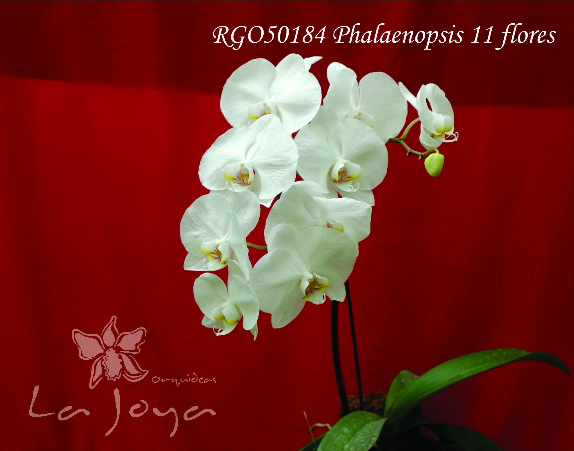 Phal RG050184 con 11 flores