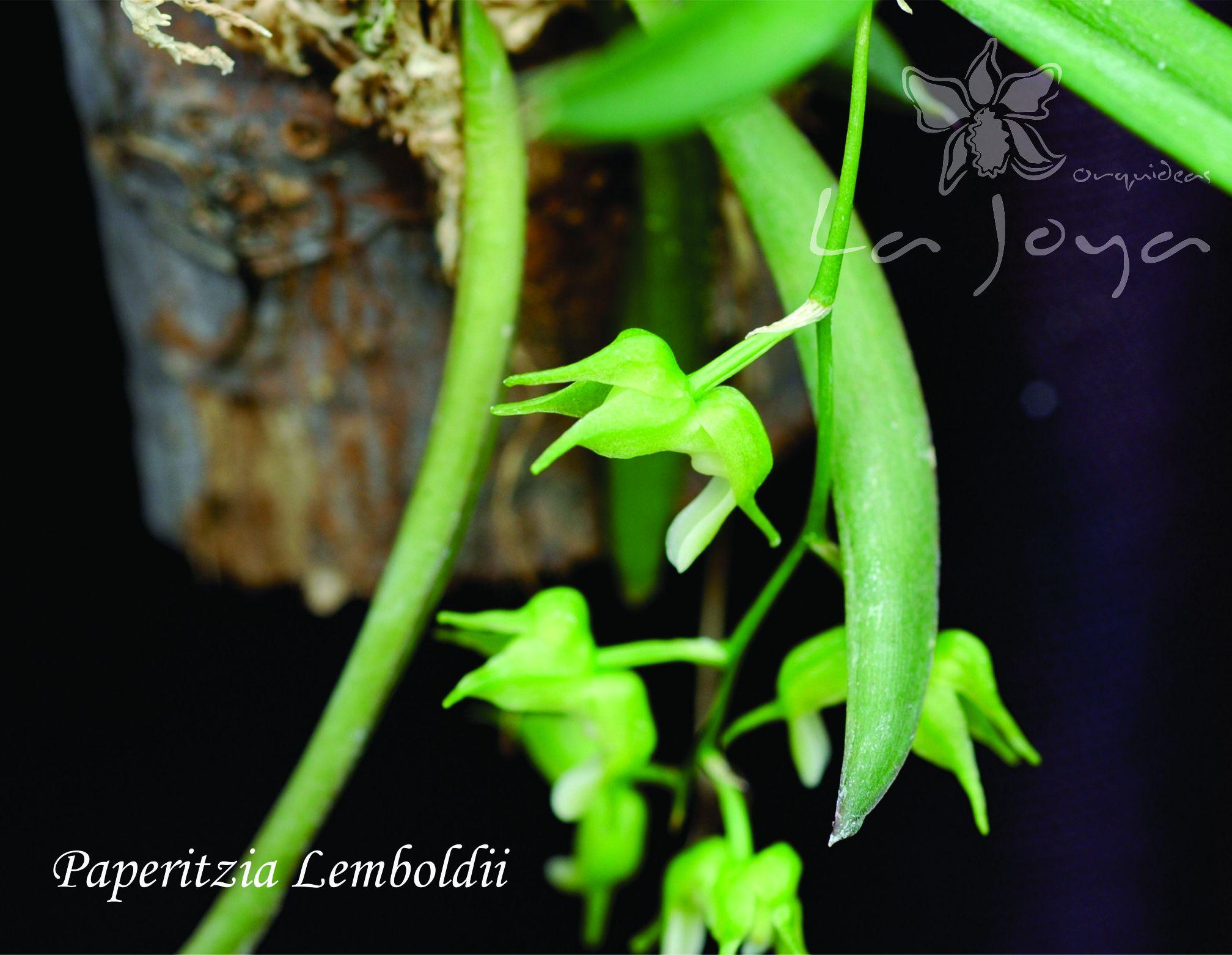 Paperitzia Lemboldii