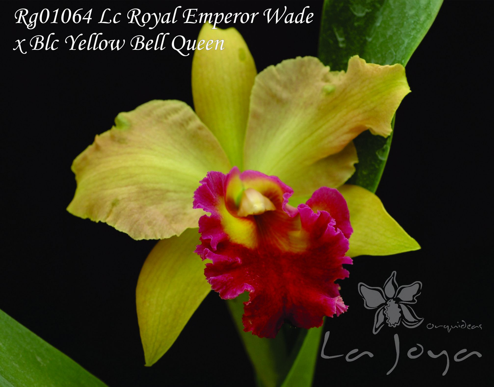 RG01064 Lc. Royal Emperor Wade x Blc. Yellow Bell Queen