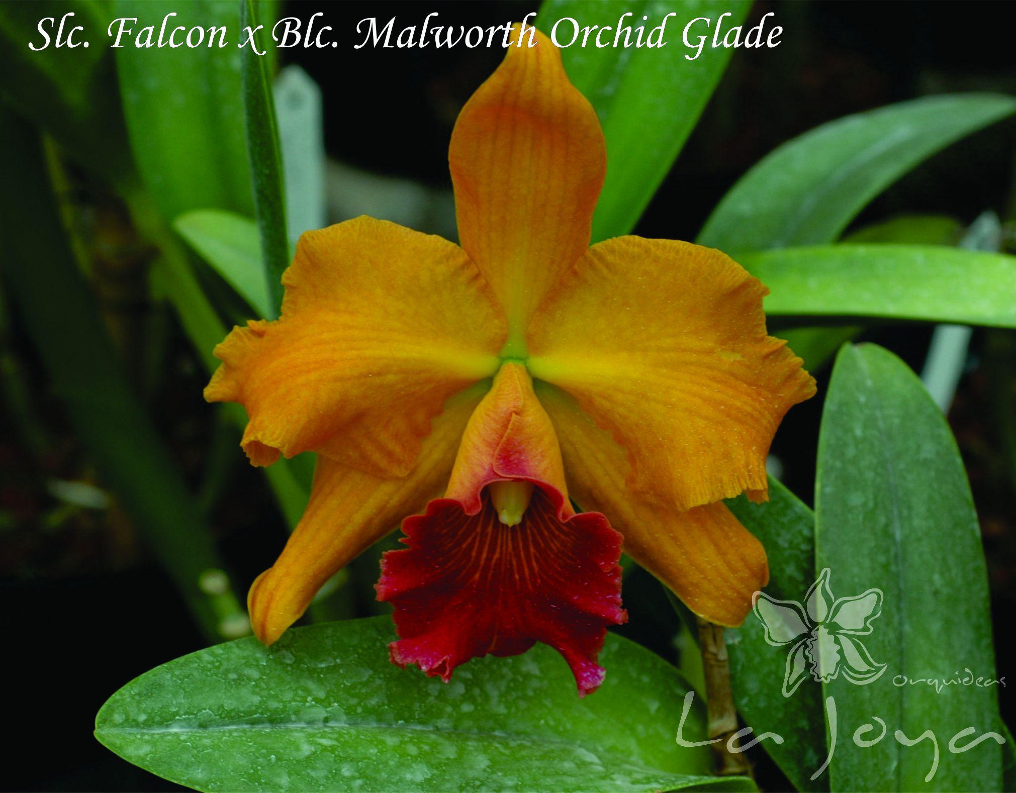 Slc. Falcon x Blc. Malworth Orchid Glade
