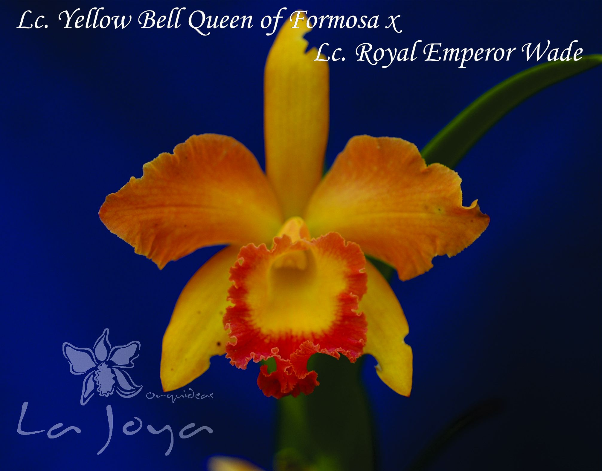 Lc. Yellow Bell Queen of Formosa x Lc. Royal Emperor Wade