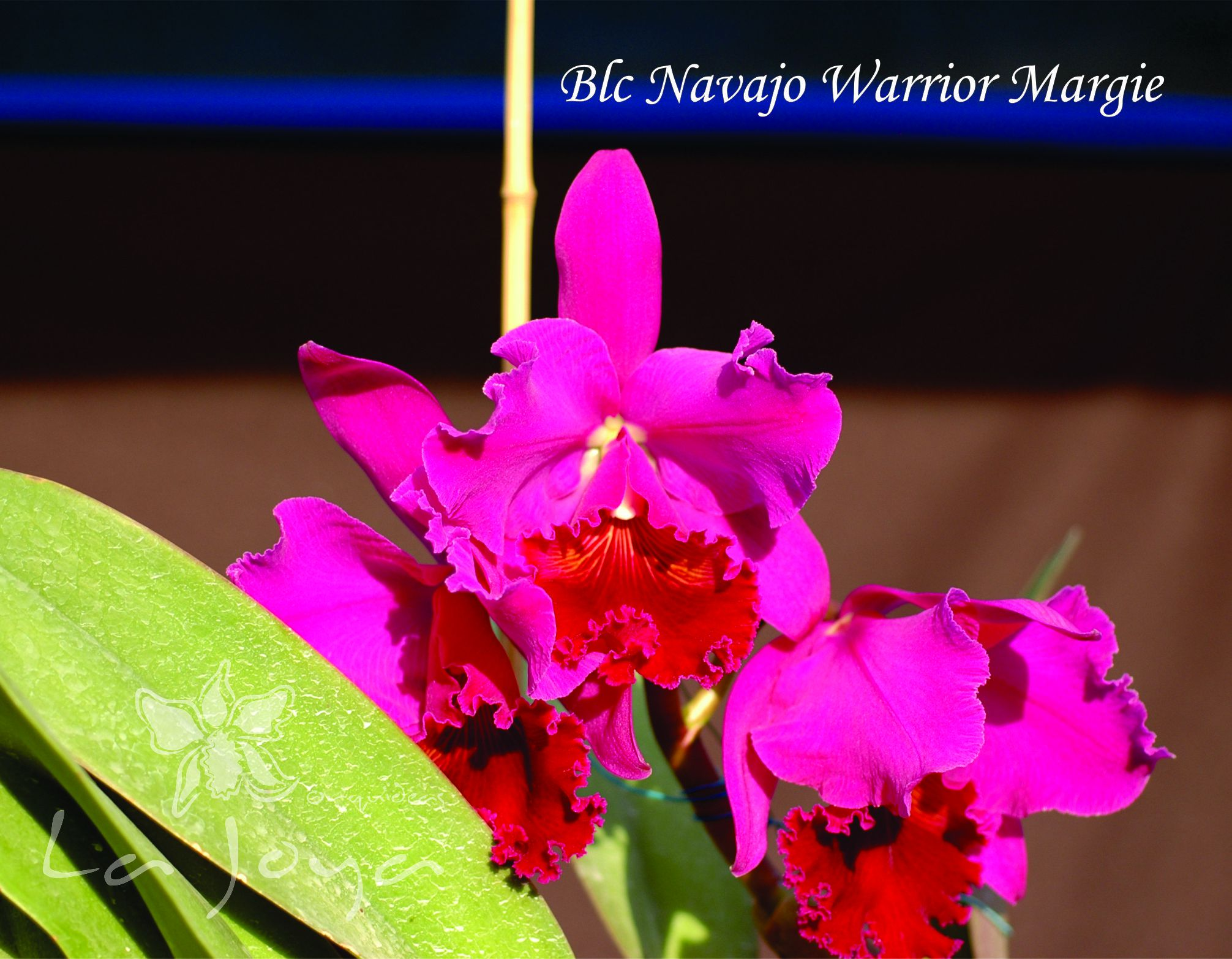 Blc. Navajo Warrior Margie
