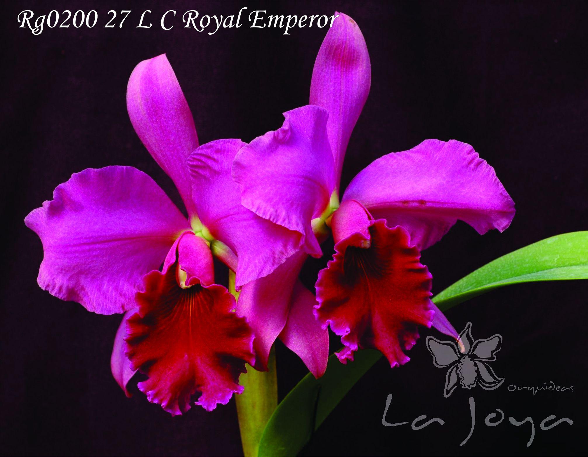 RG020027 Lc. Royal Emperor
