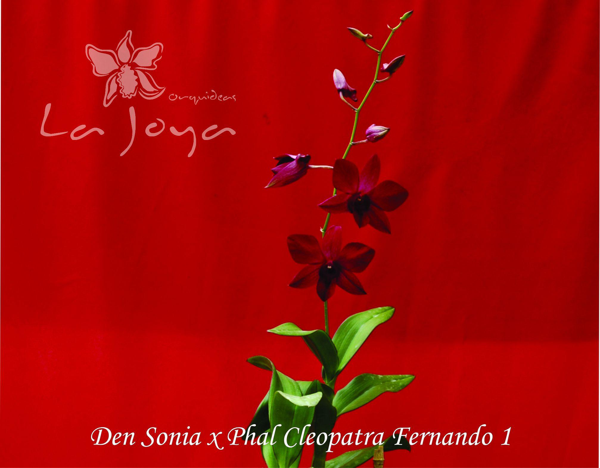Den Sonia x Phal Cleopatra Fernando