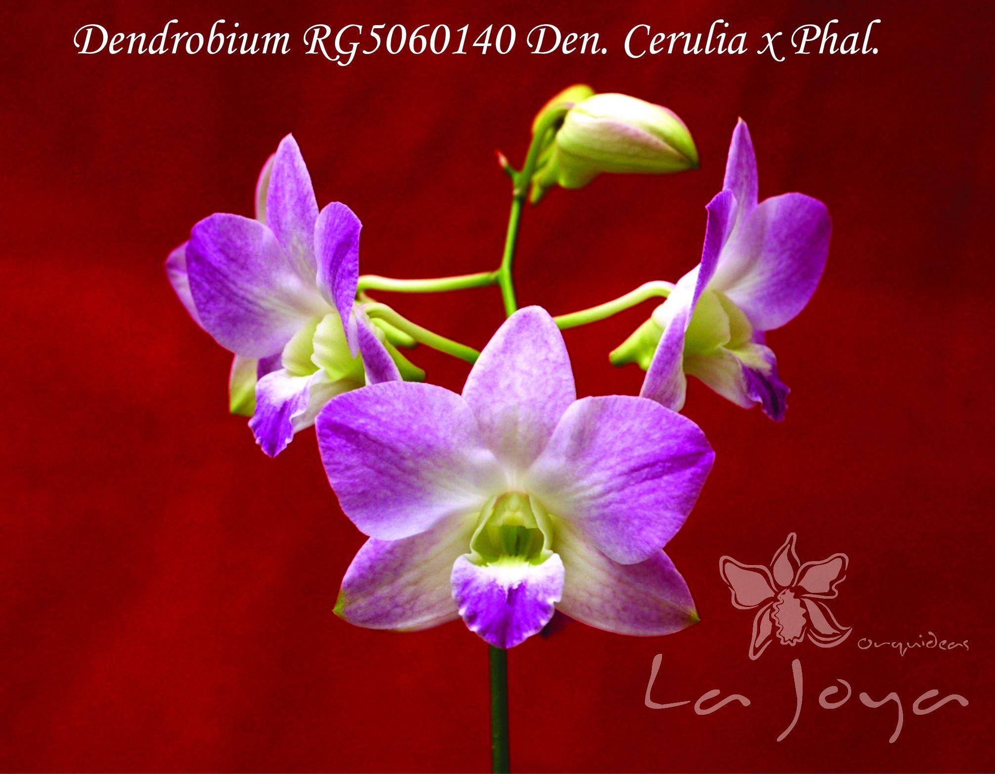 RG5060140 Den Cerulia x Phal