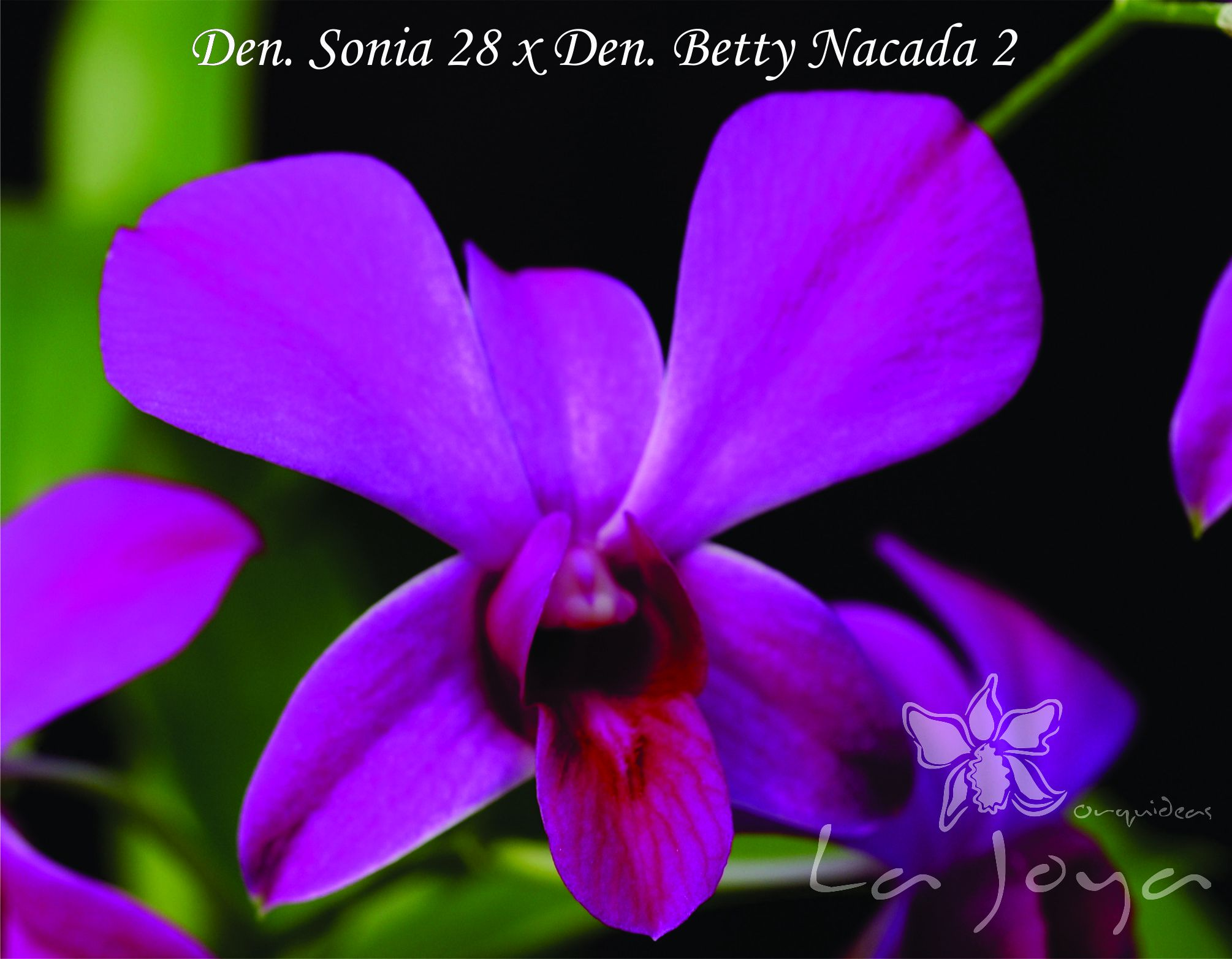 Den Sonia 28 x Den Betty Nacada
