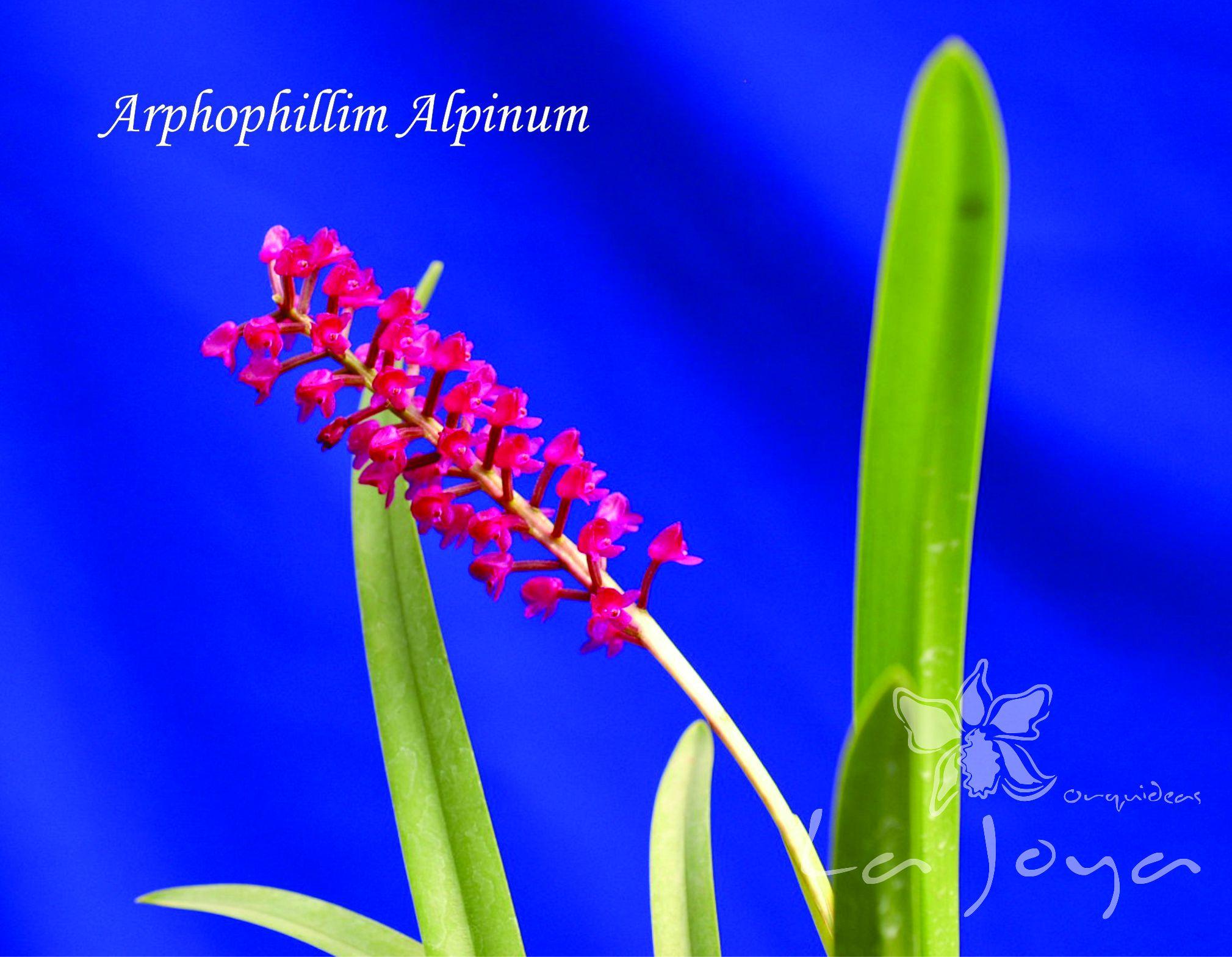 Arpophyllum Alpinum