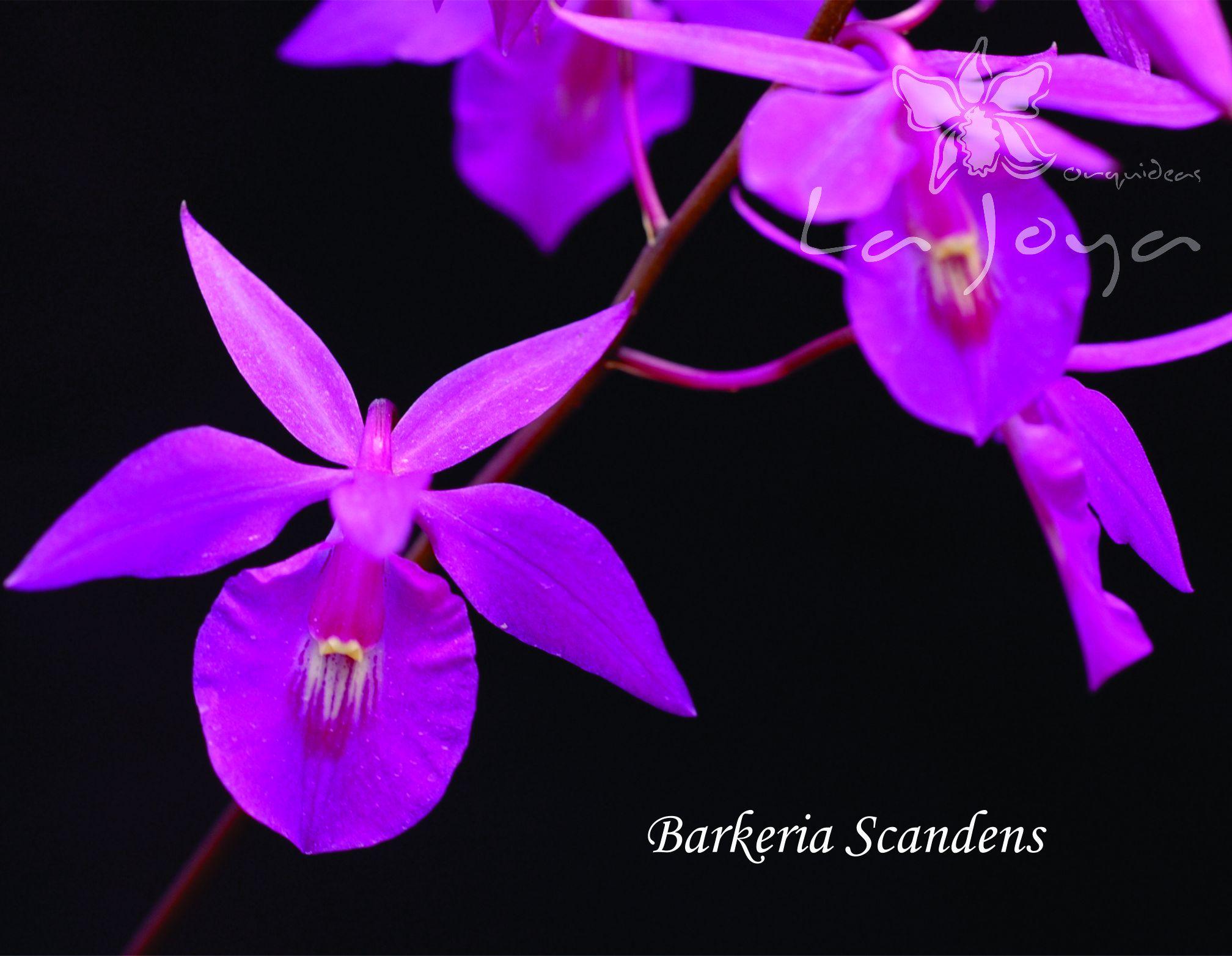 Barkeria Scandens