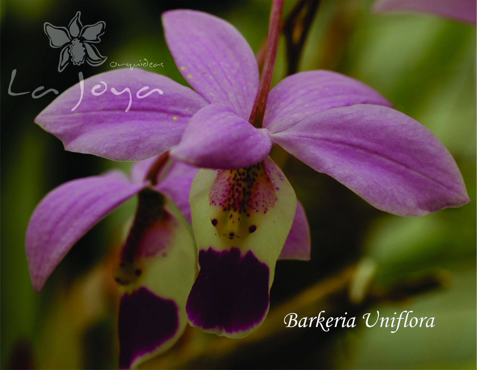 Barkeria Uniflora