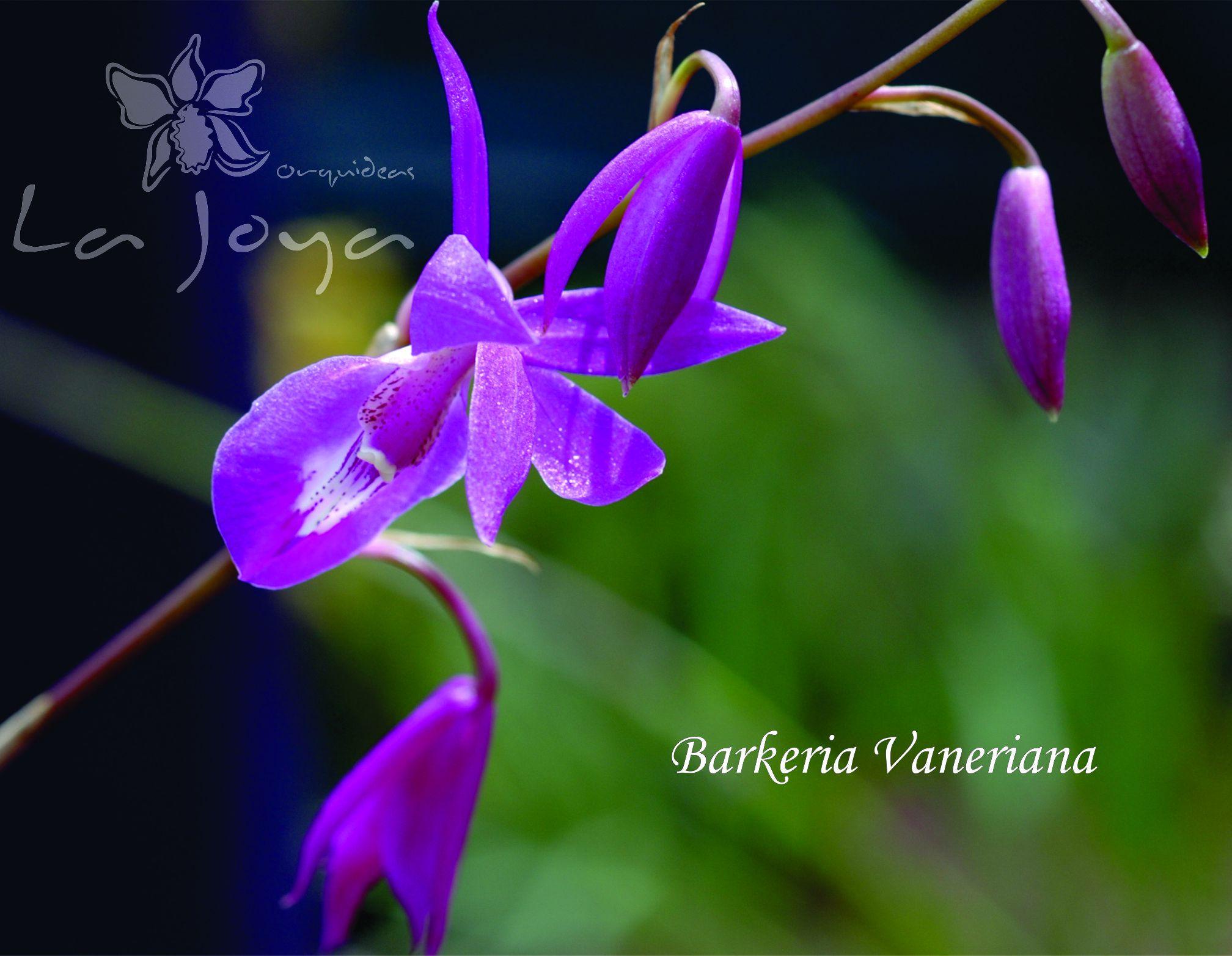 Barkeria Vaneriana