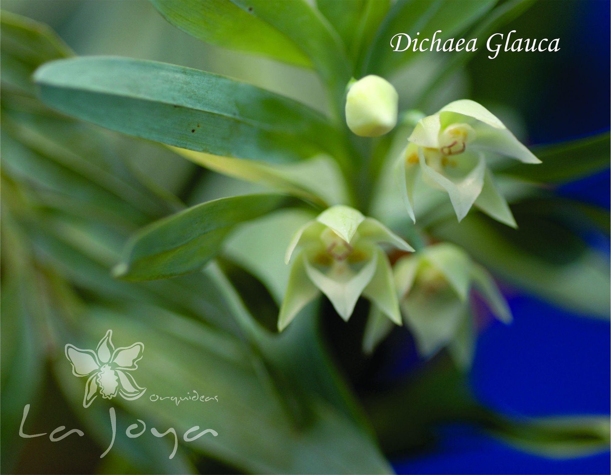 Dichaea Glauca