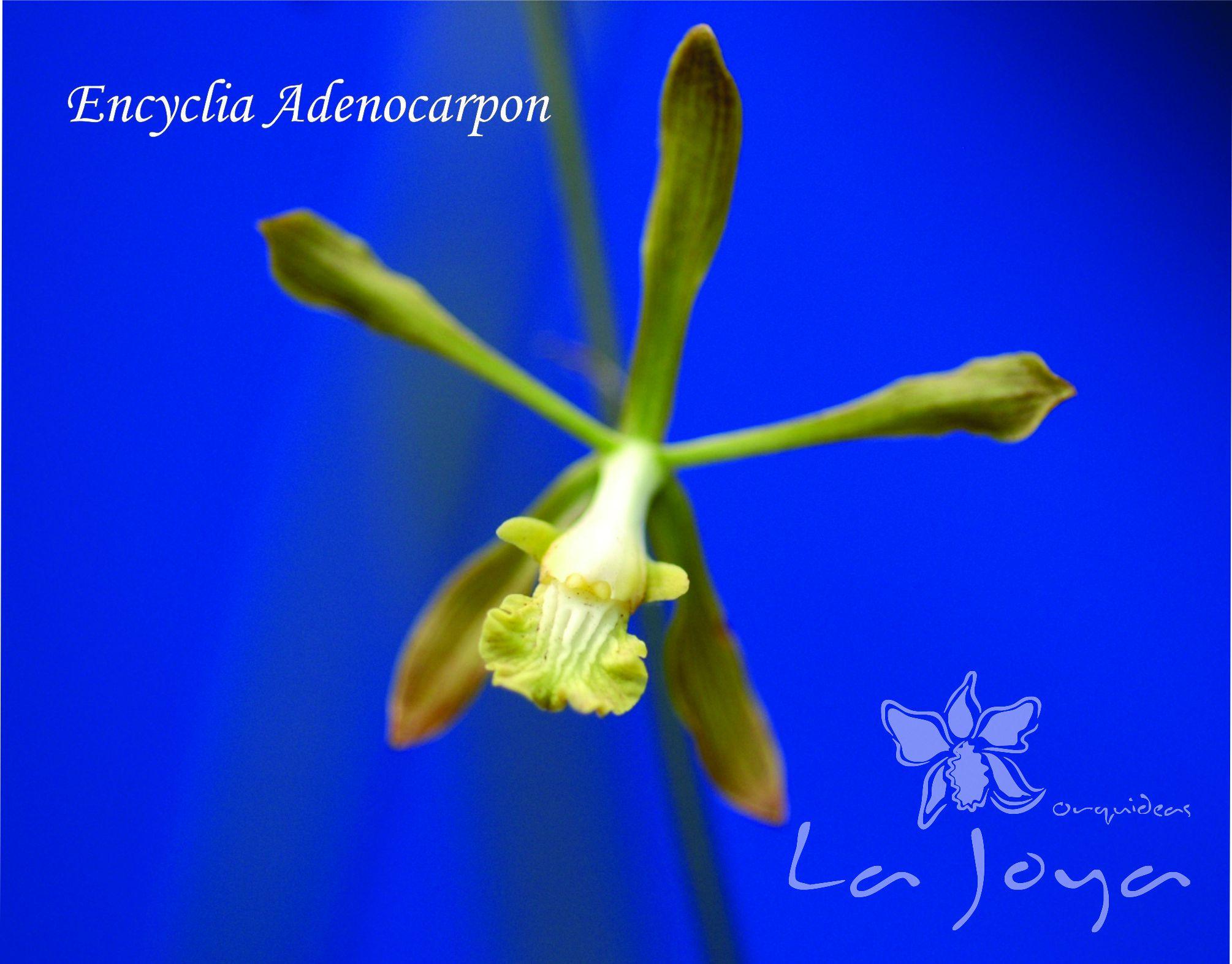 Encyclia Adenocarpon