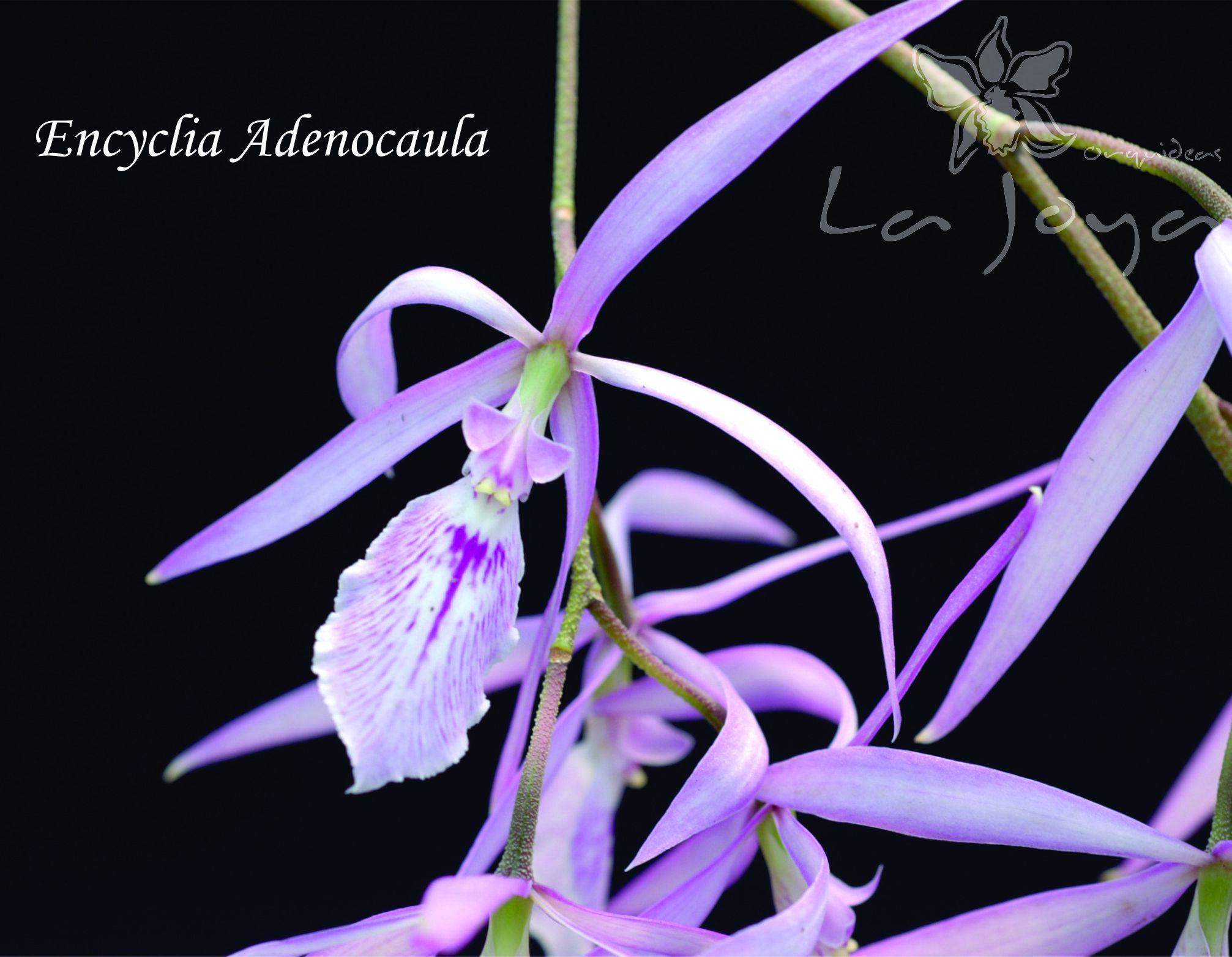 Encyclia Adenocaula