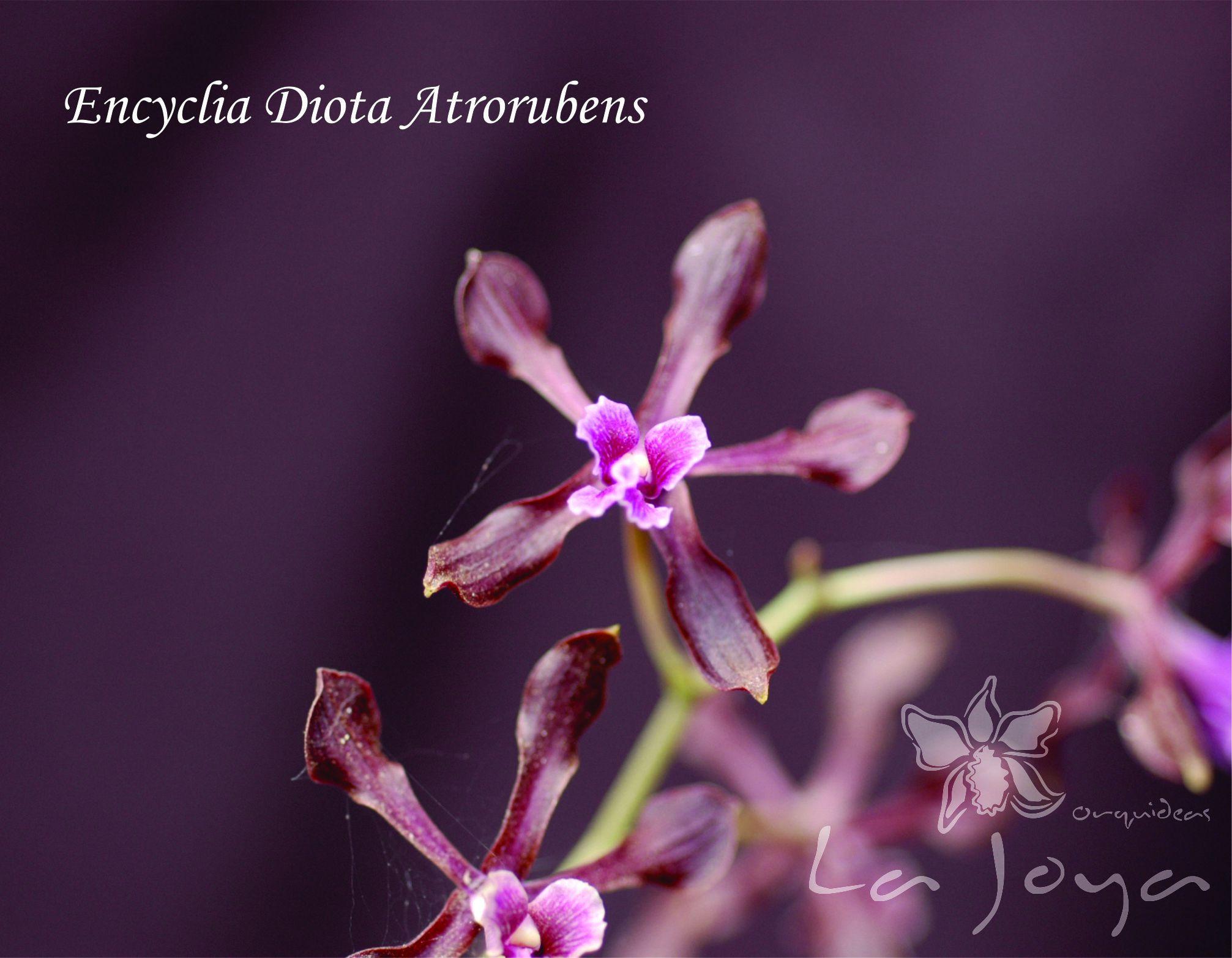 Encyclia Diota Atrorubens
