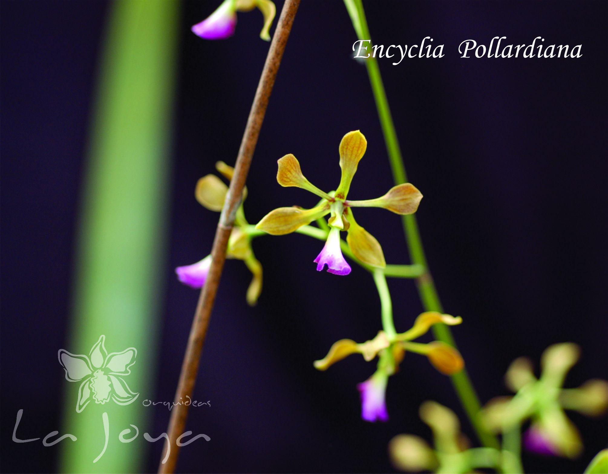 Encyclia Pollardiana