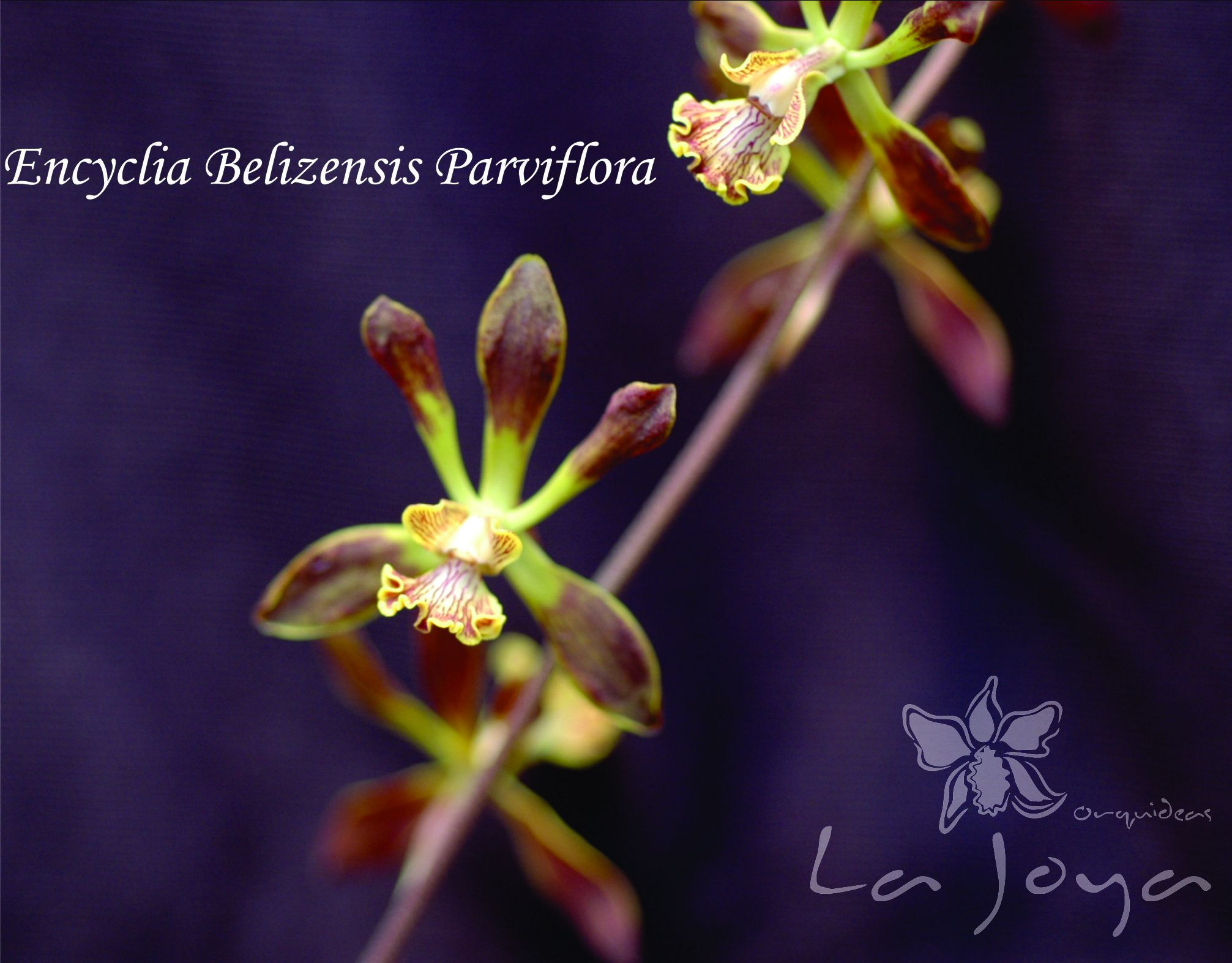Encyclia Belizenses Parviflora