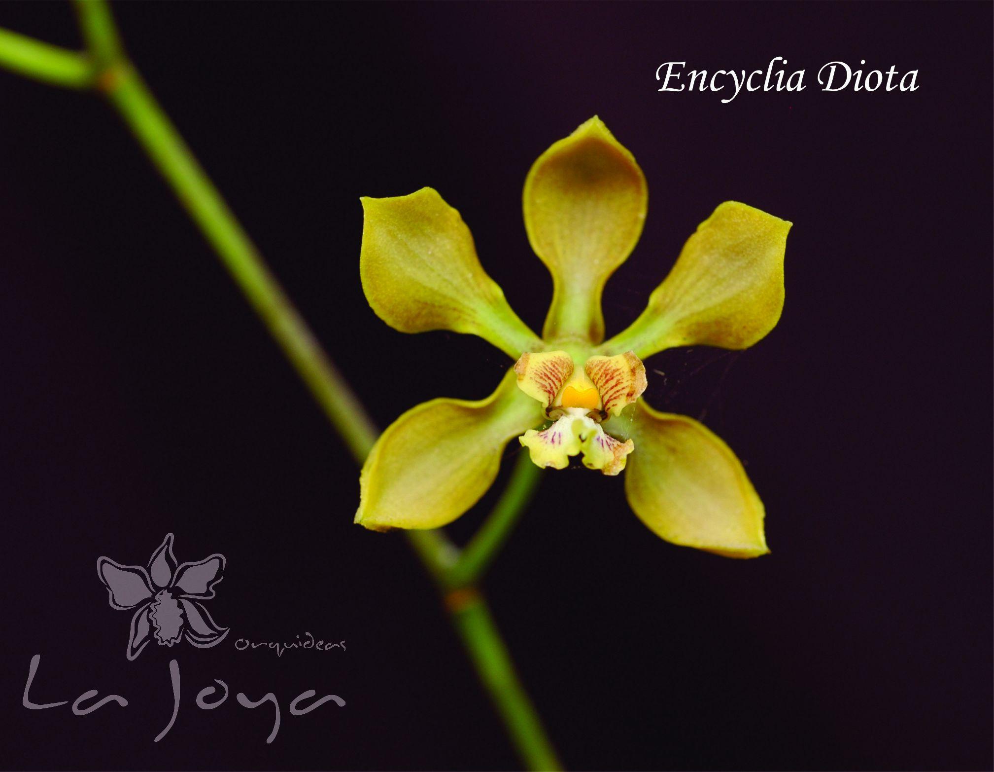 Encyclia Diota