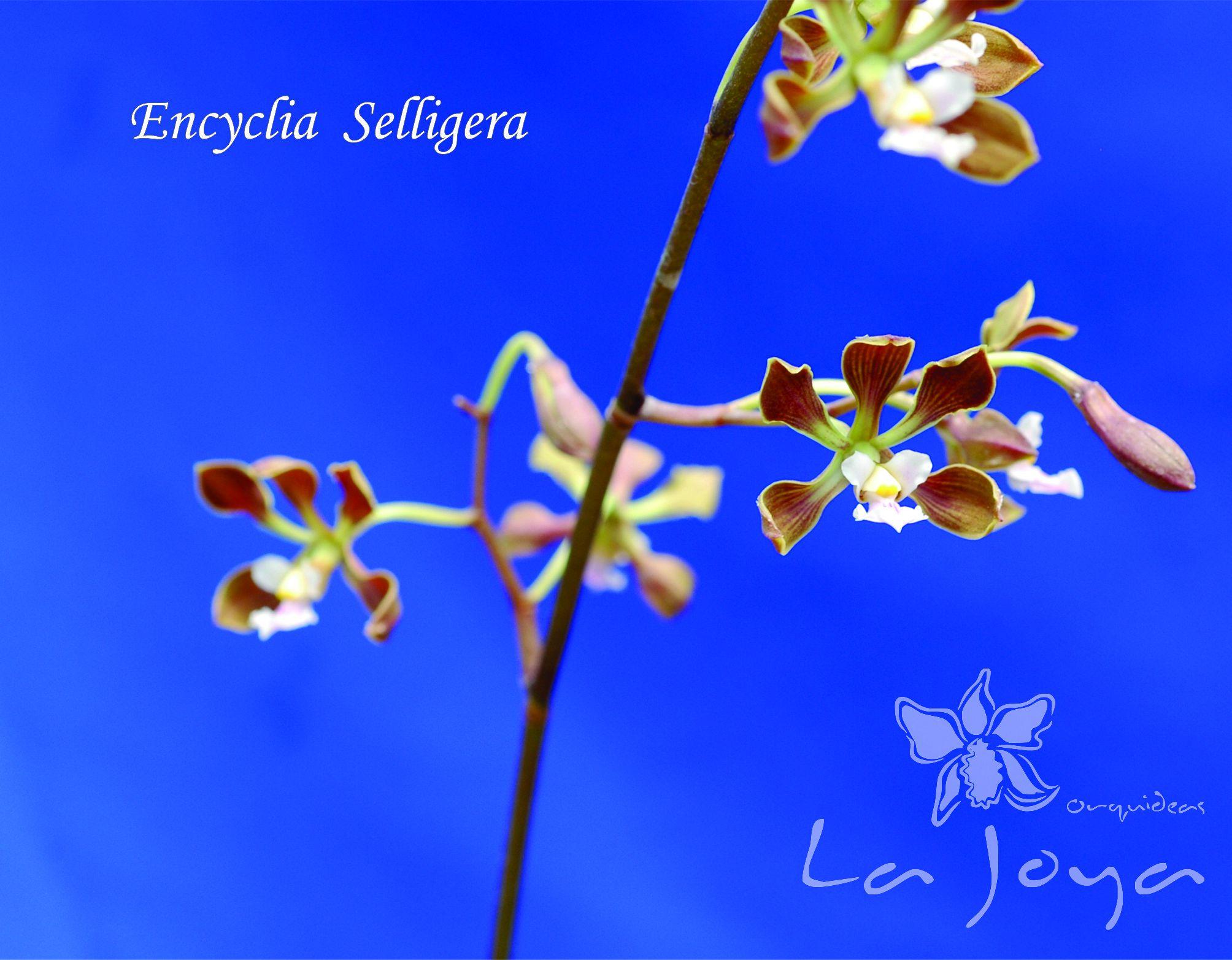 Encyclia Selligera