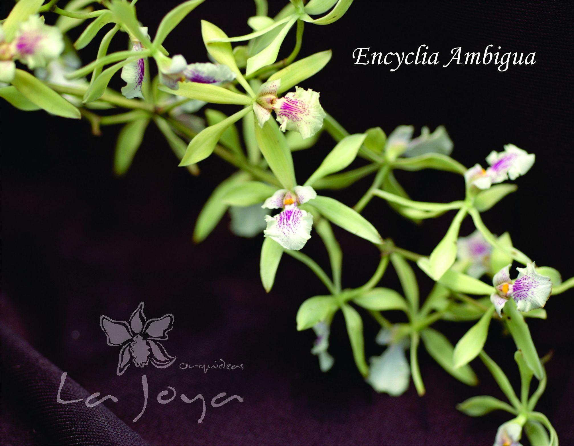 Encyclia Ambigua