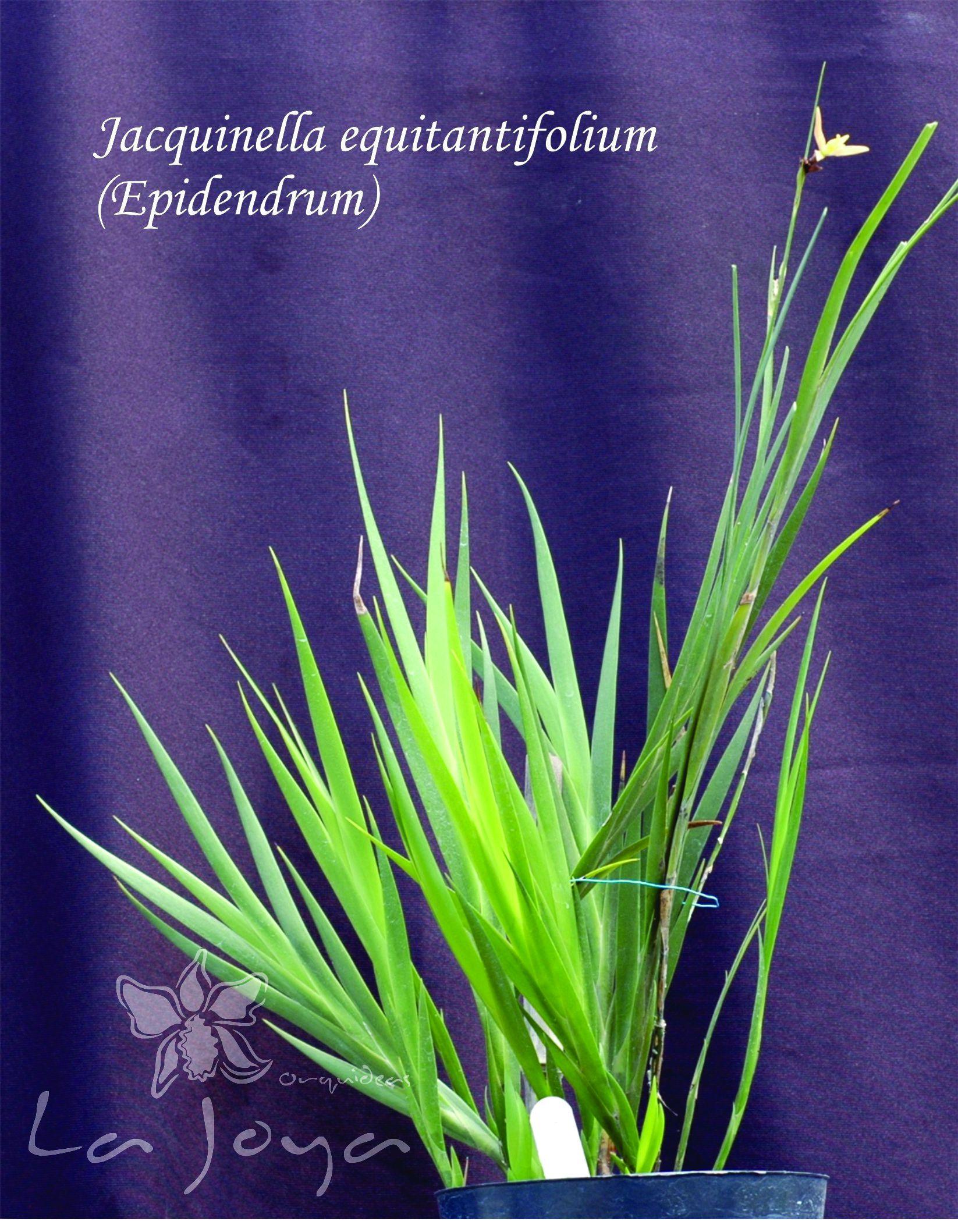Jaquinella Equitantifolium (Epidendrum)