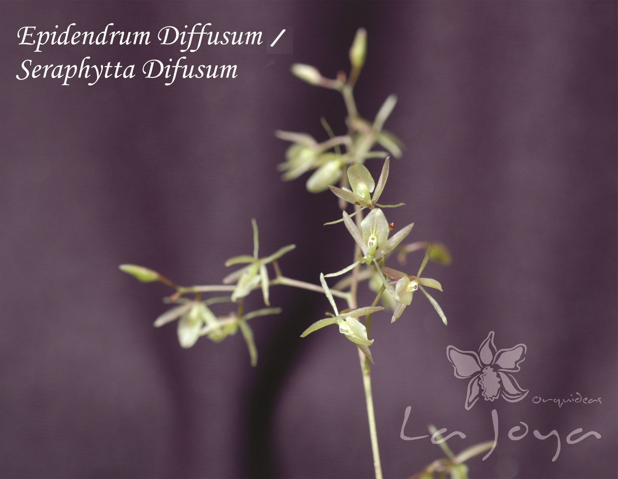 Seraphyta Diffusum (Epidendrum)