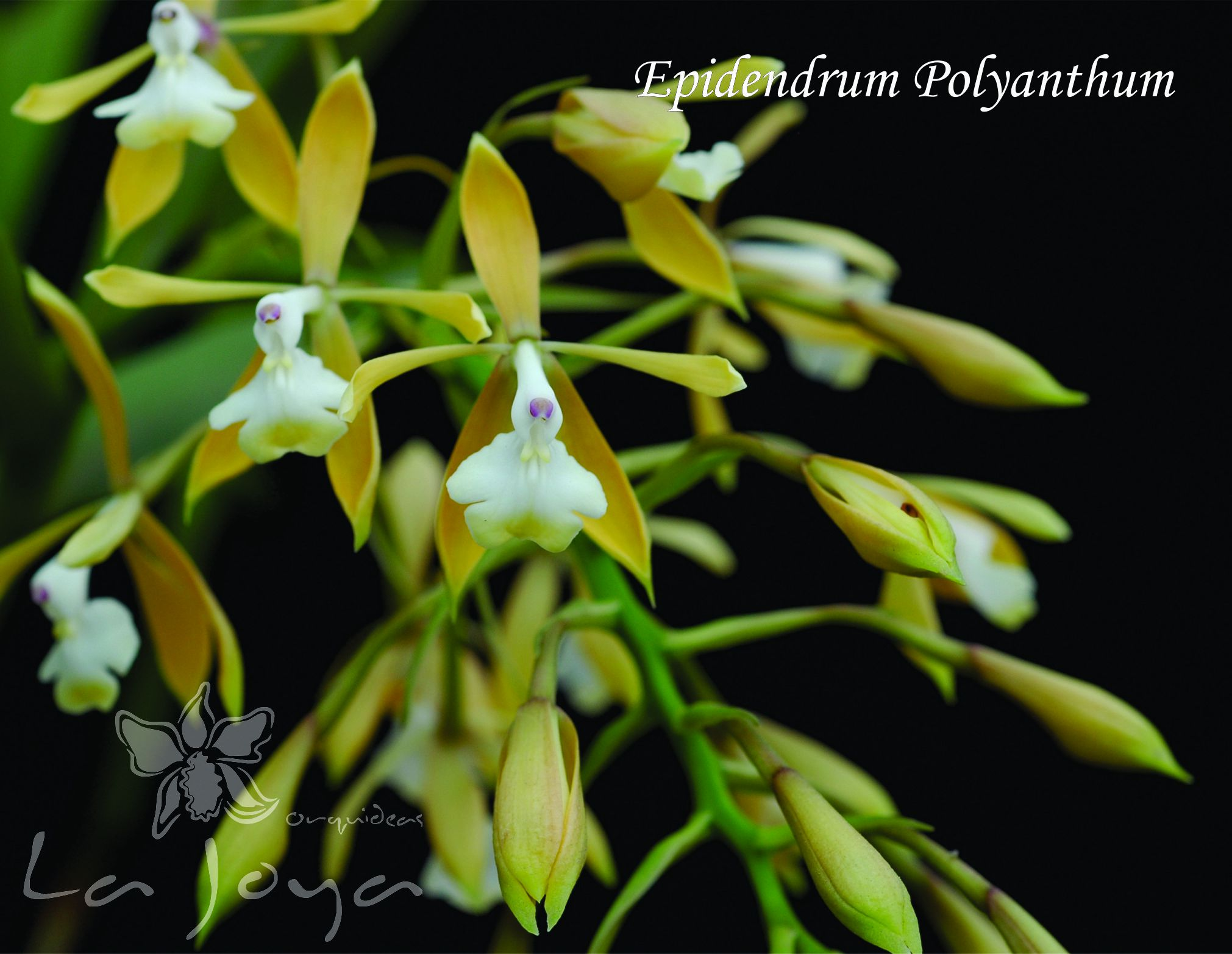 Epidendrum Polyanthum