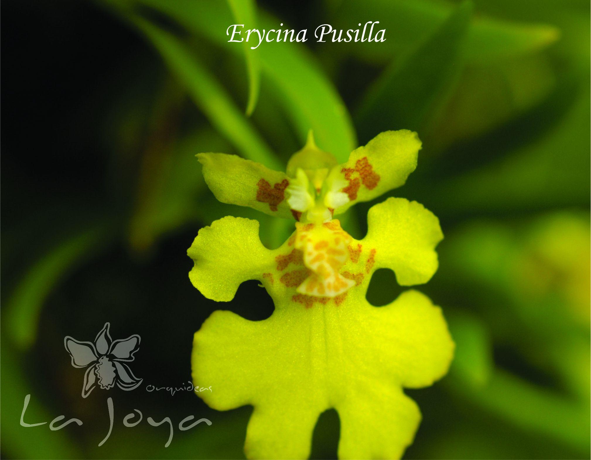 Erycina Pussilla
