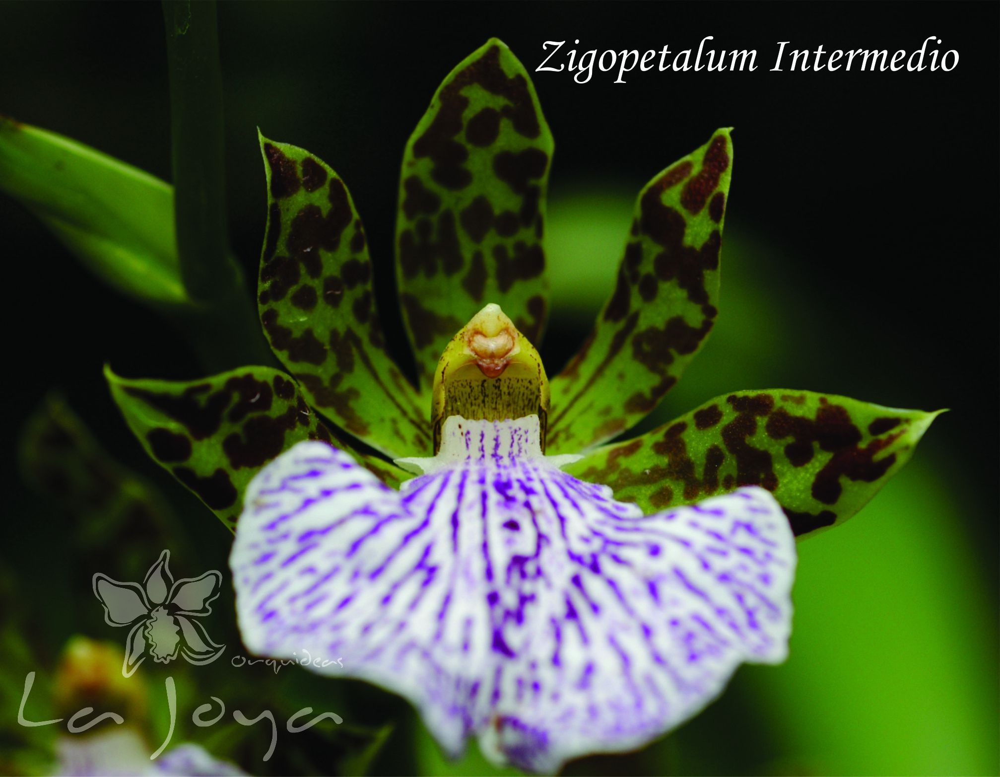 Zigopetalum Intermedio