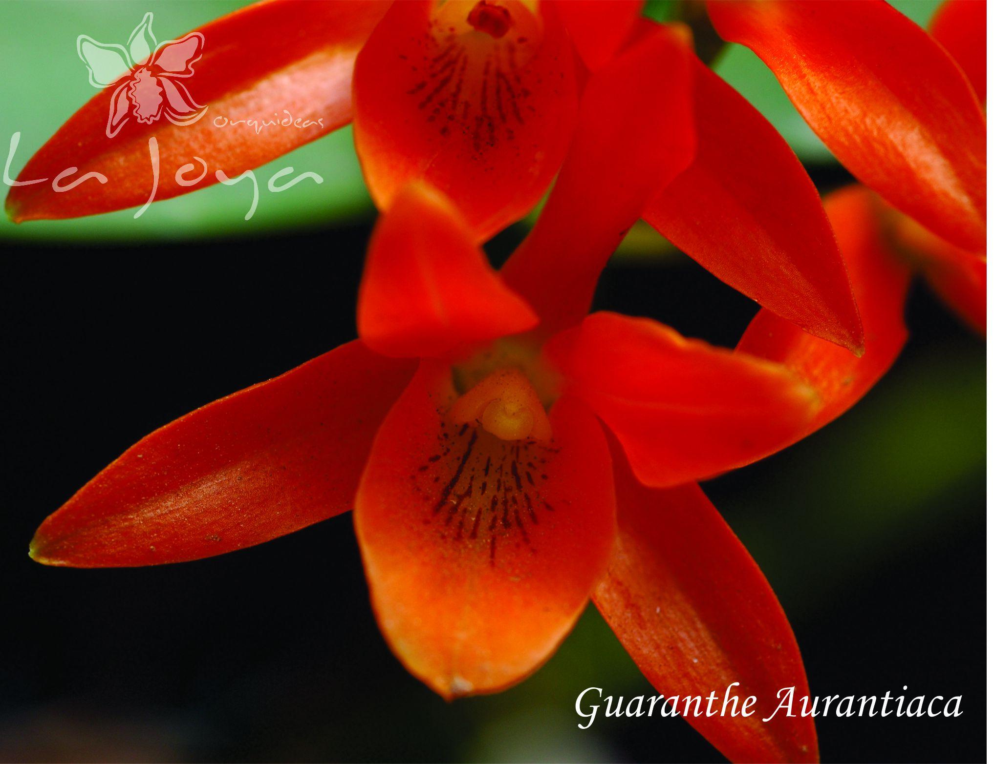 Guaranthe Aurantiaca