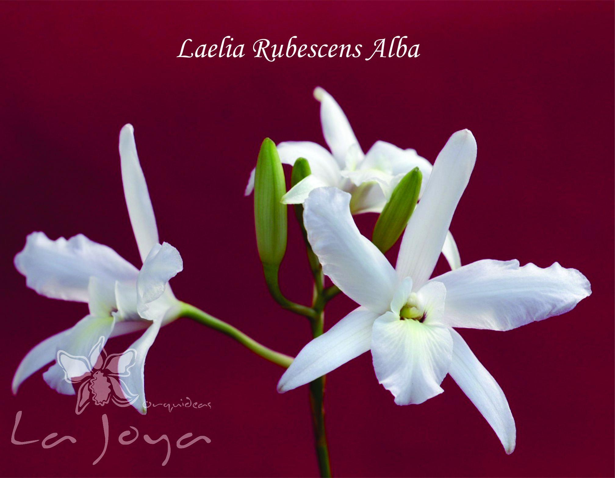 Laelia Rubescens Alba