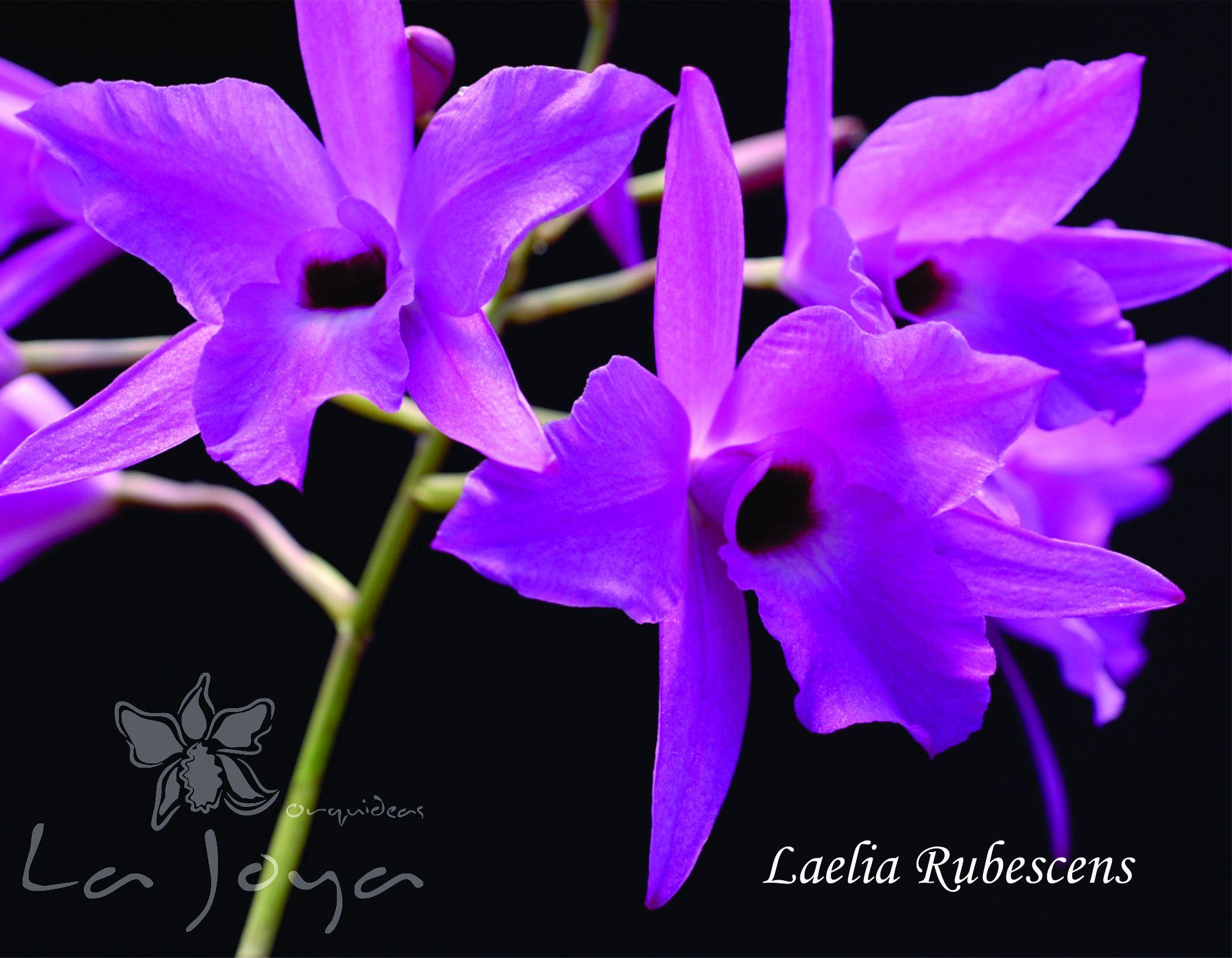 Laelia Rubescens