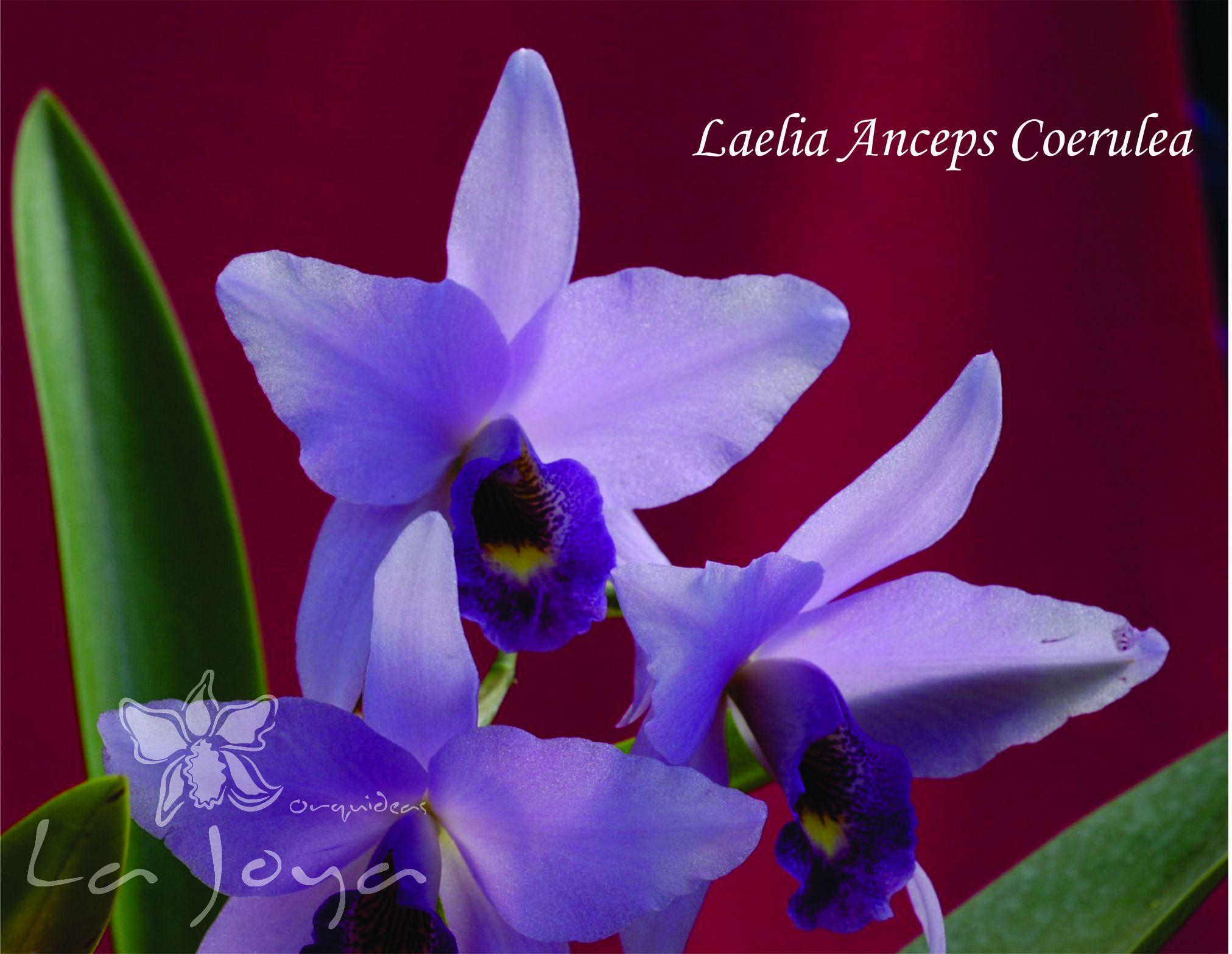 Laelia Anceps Coerulea