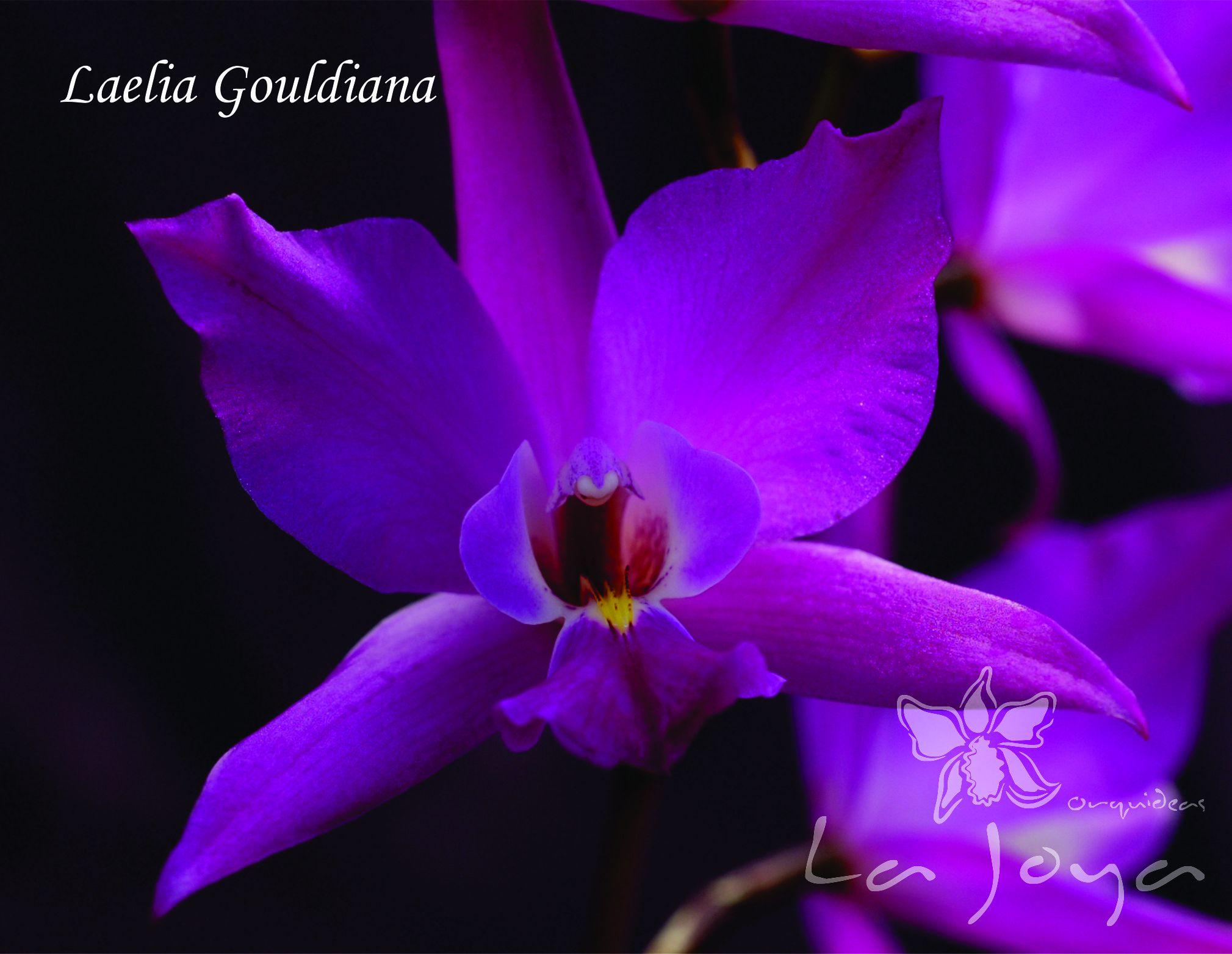 Laelia Gouldiana