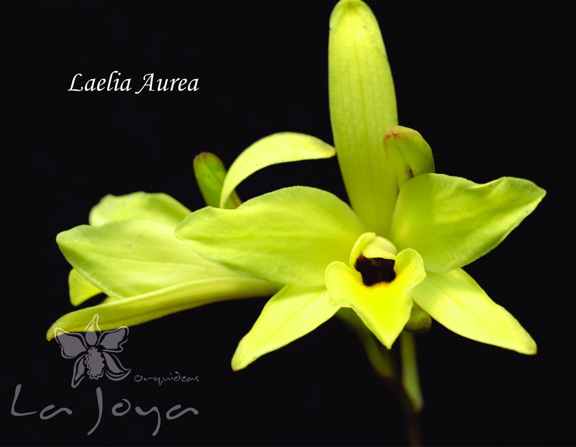 Laelia Aurea