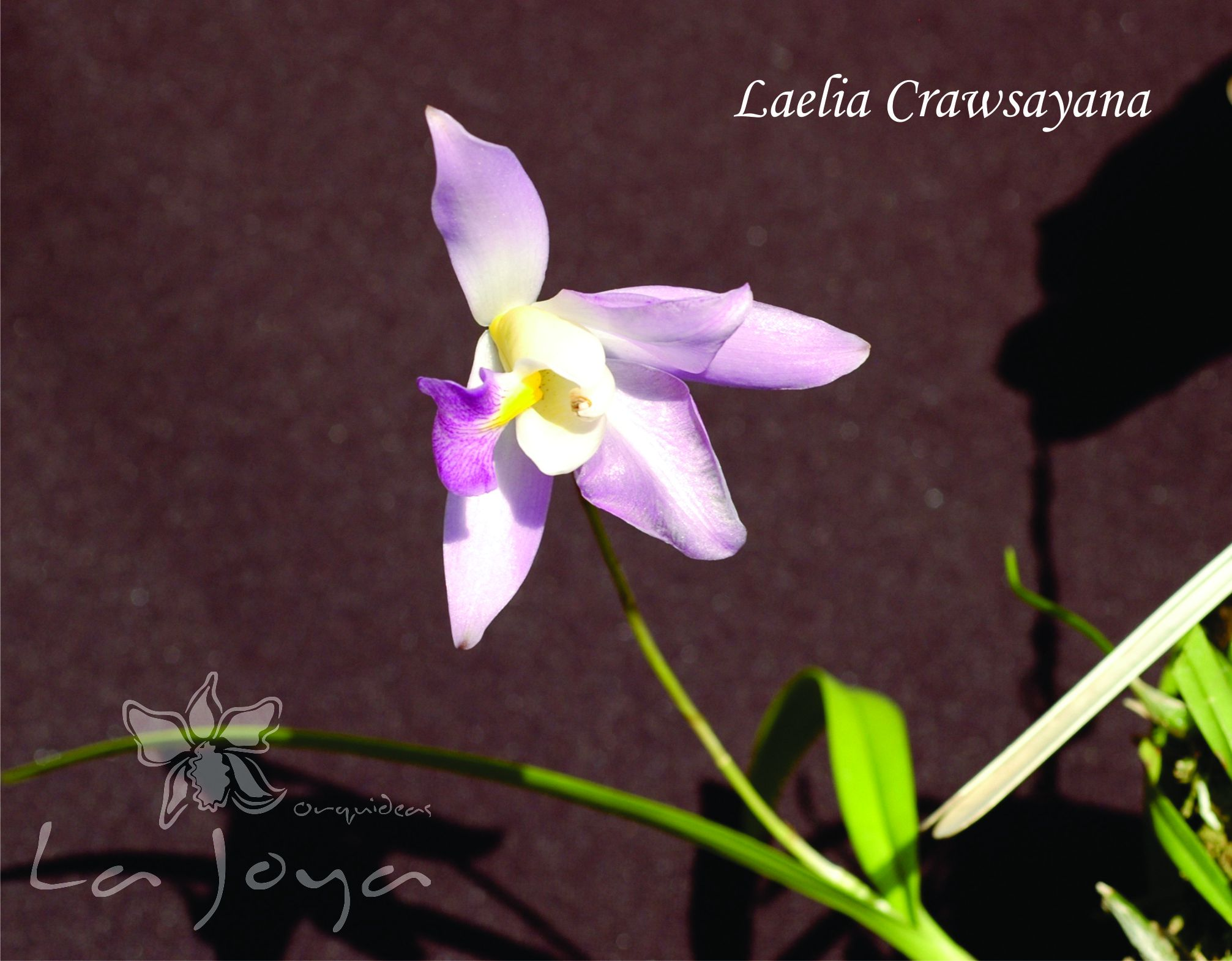 Laelia Crawsayana