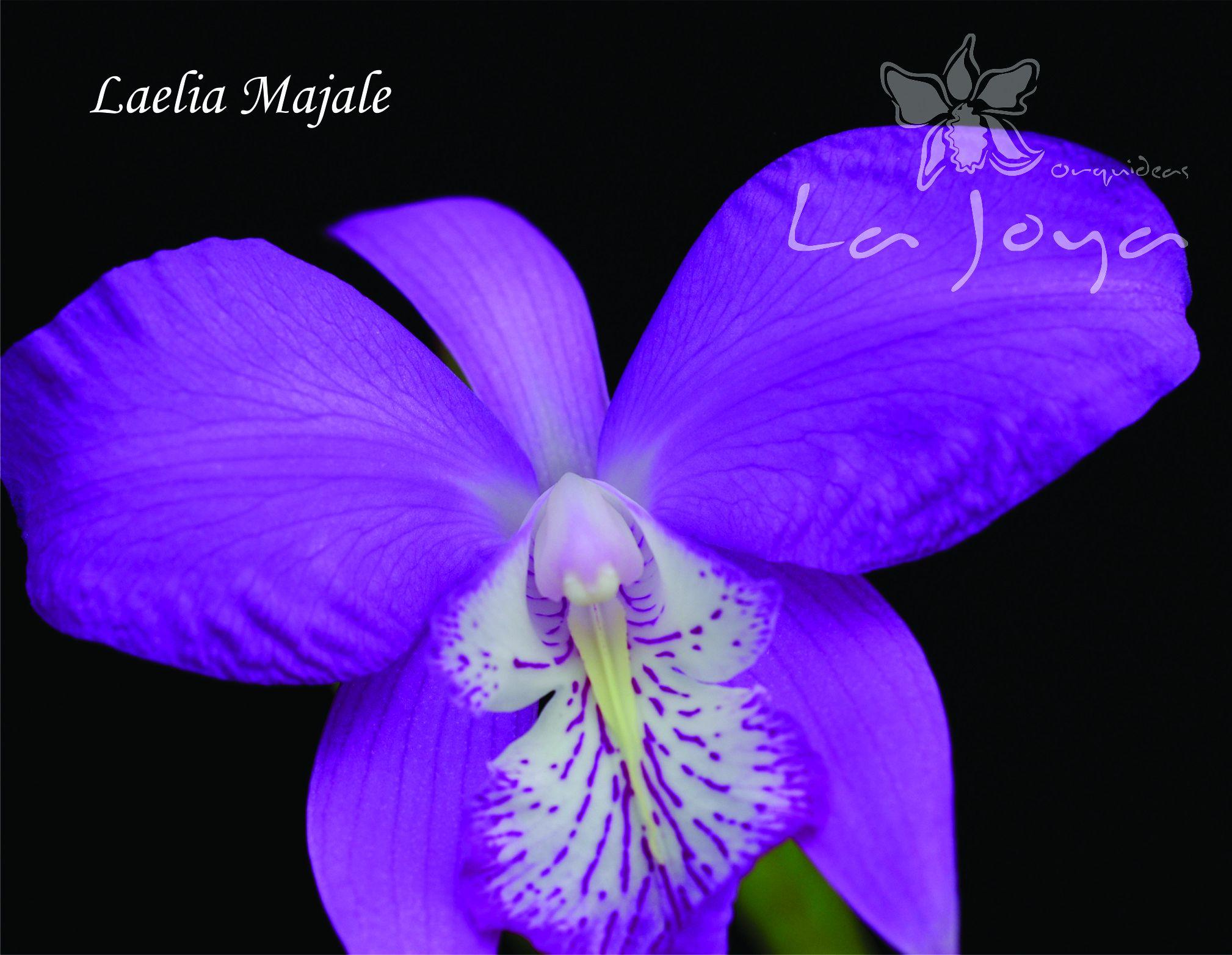 Laelia Majale